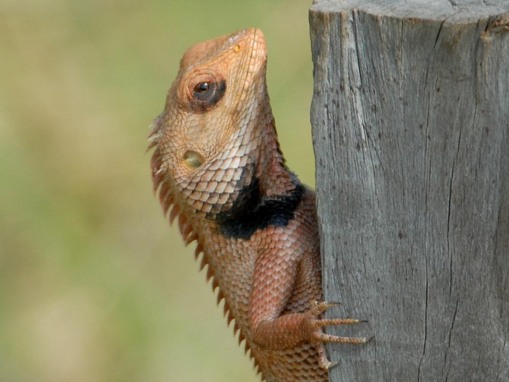 085 lizard.jpg