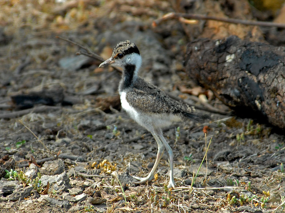 097 red wattled lapwing baby.jpg