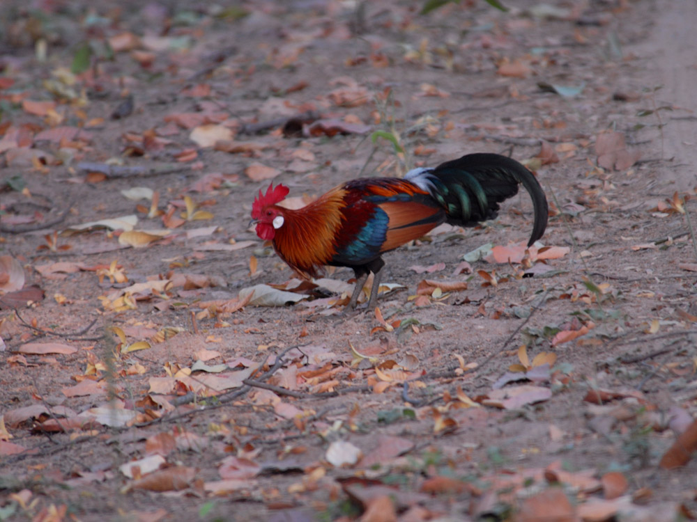 101 jungle fowl.jpg