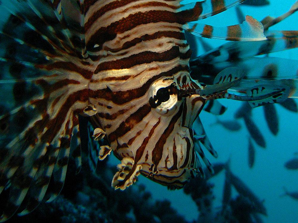 010 lionfish - hin muang, thailand.jpg