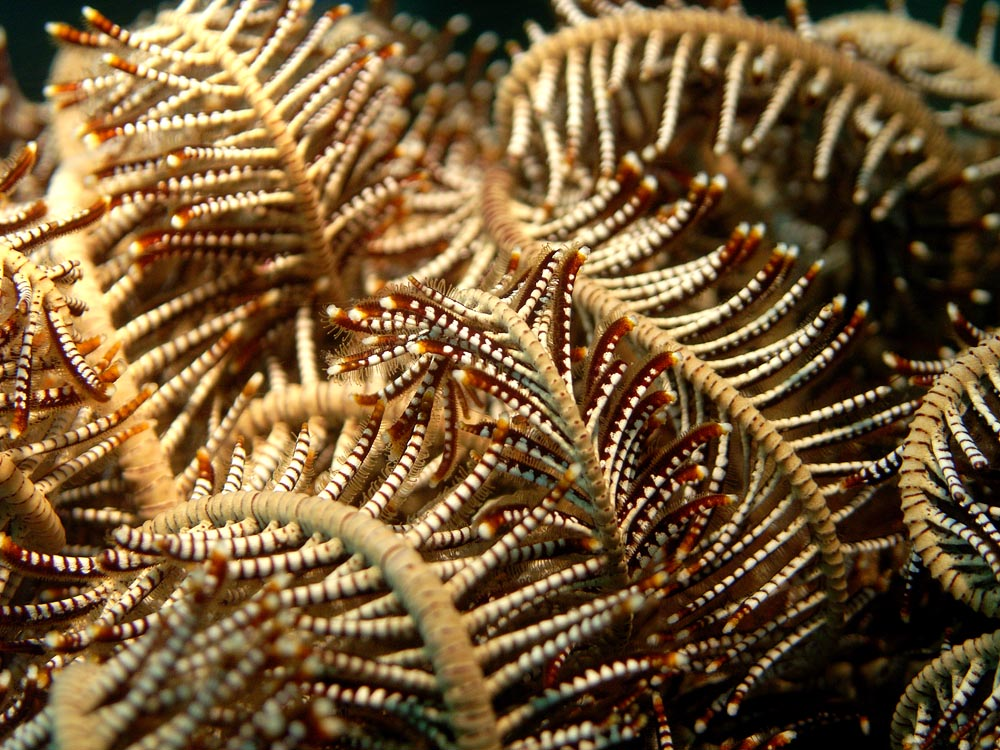 020 feather star - thailand.jpg