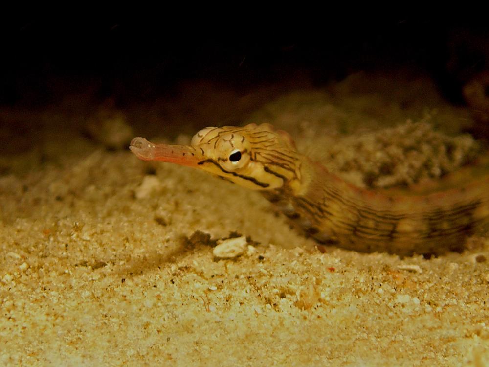038 pipefish - raja ampat, indonesia.jpg