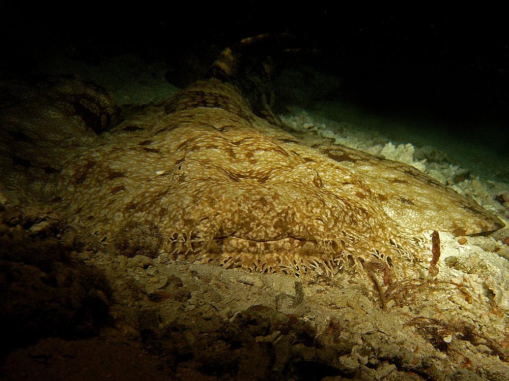 041 wobegong - raja ampat, indonesia.jpg
