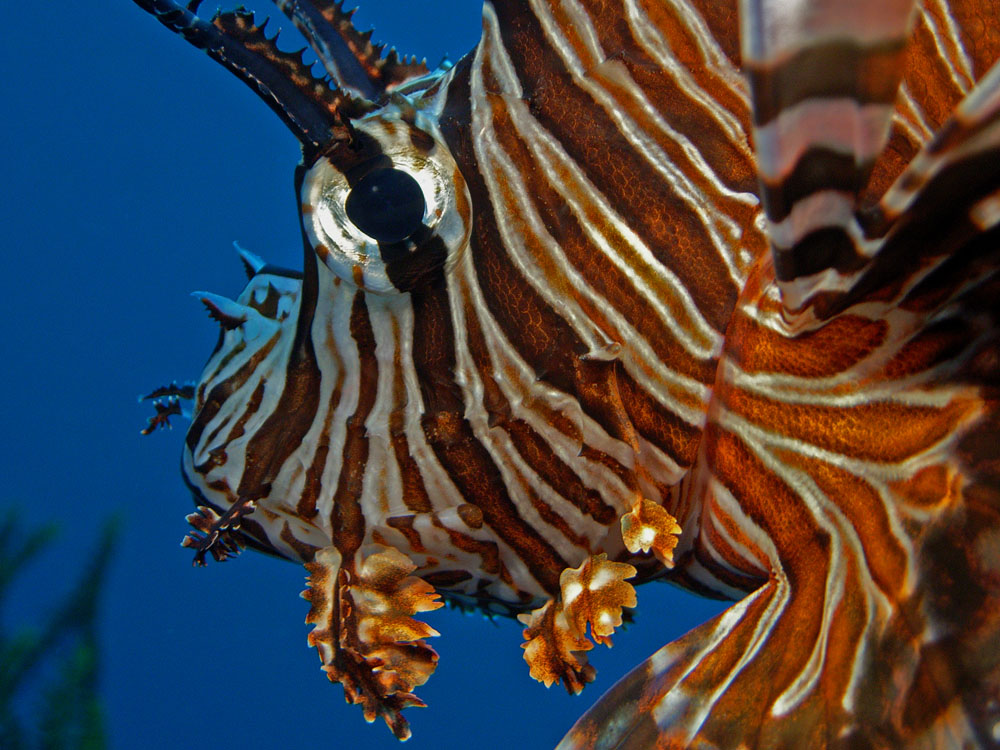 044 lionfish - raja ampat, indonesia.jpg