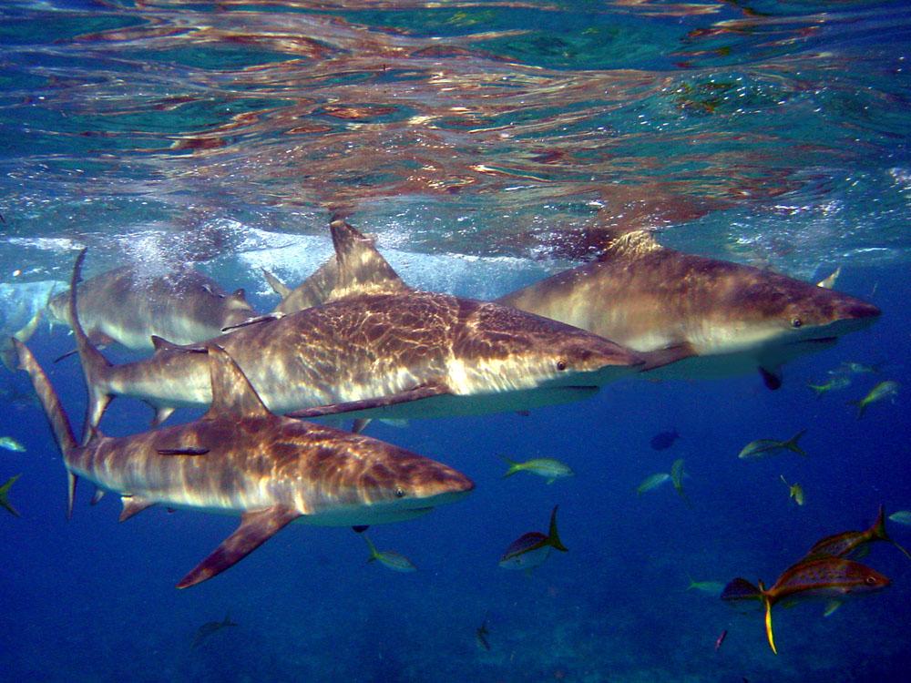 074 caribbean reef sharks - bimini, bahamas.jpg