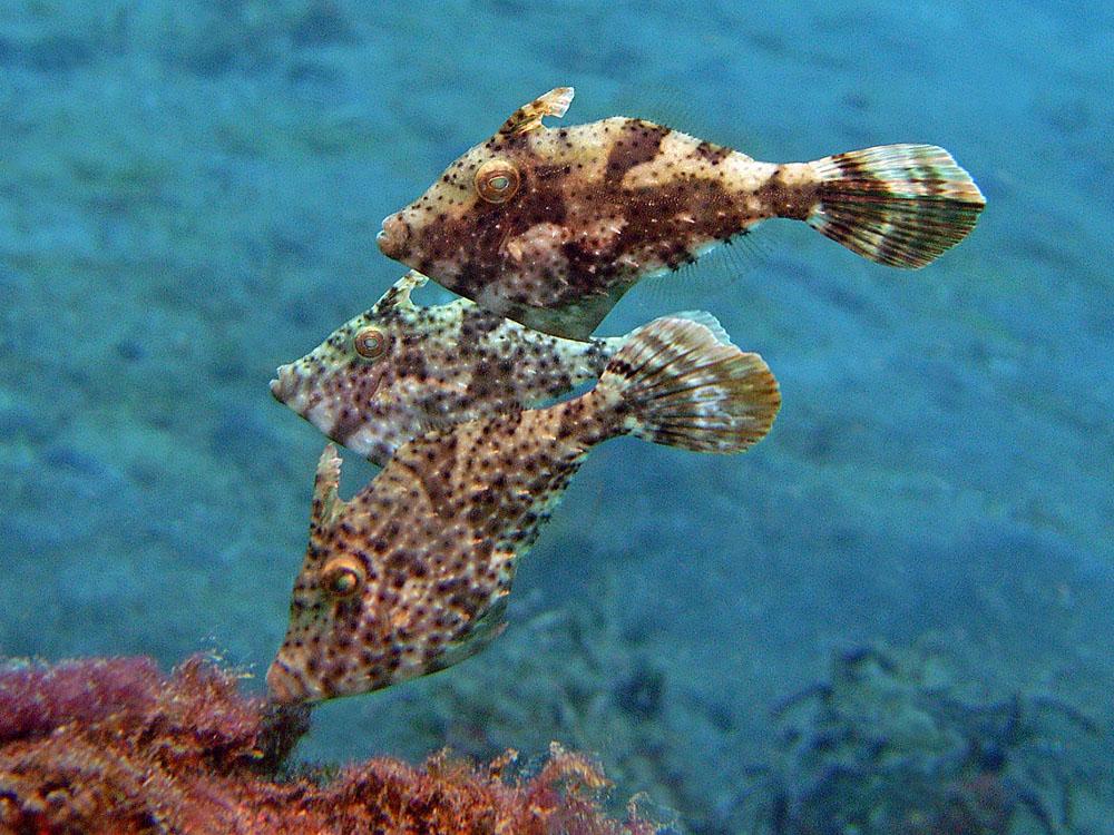 112 scrawled filefish - bimini, bahamas.jpg