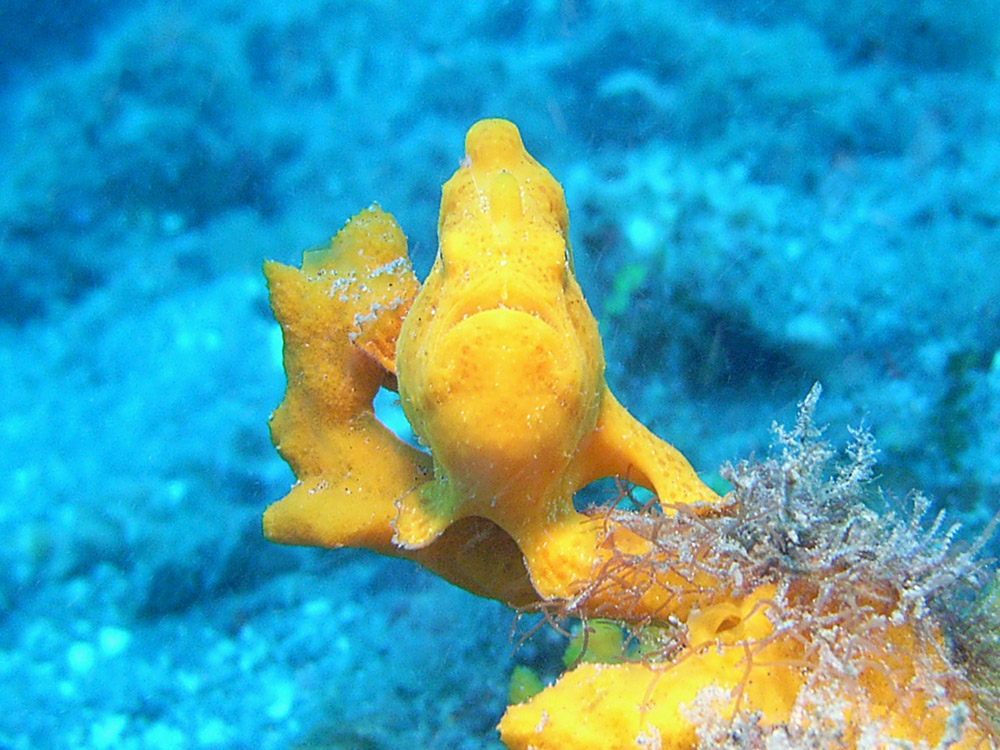113 yellow frogfish - manado, indonesia.jpg