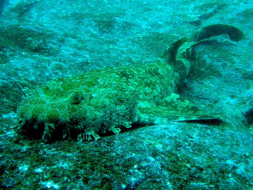 130 wobbegong shark - sydney, australia.jpg
