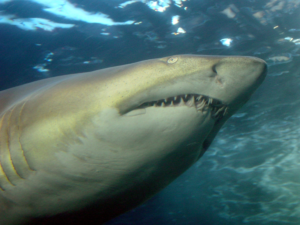 138 sand tiger - cape town, south africa.jpg