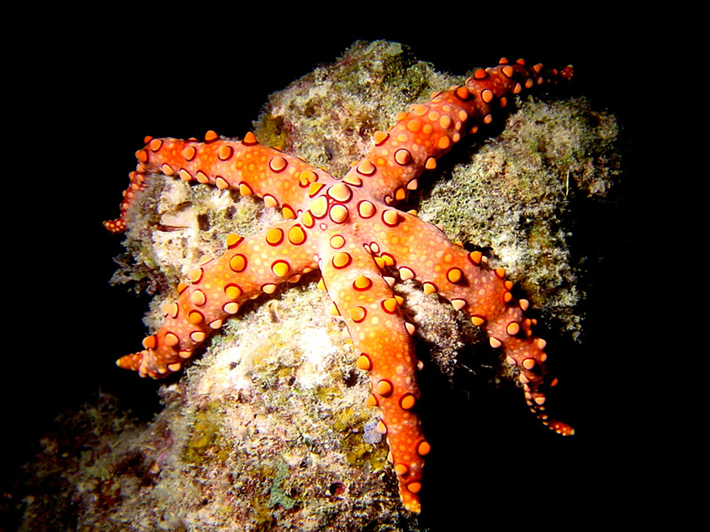 143 sea star - papua new guinea.jpg