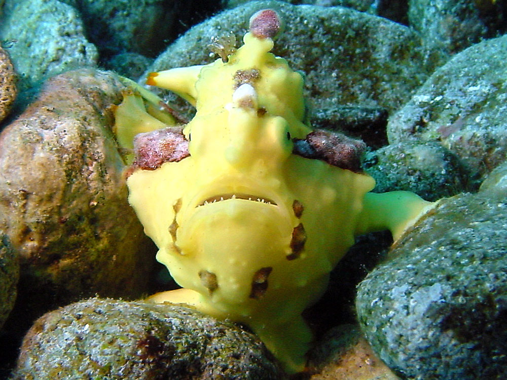 156 frogfish - flores, indonesia.jpg