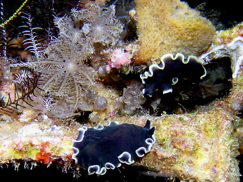 163 flatworms - alor, indonesia.jpg