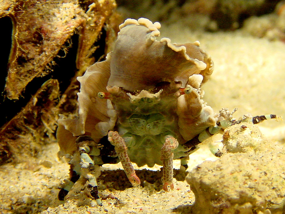 176 decorator crab - komodo, indonesia.jpg