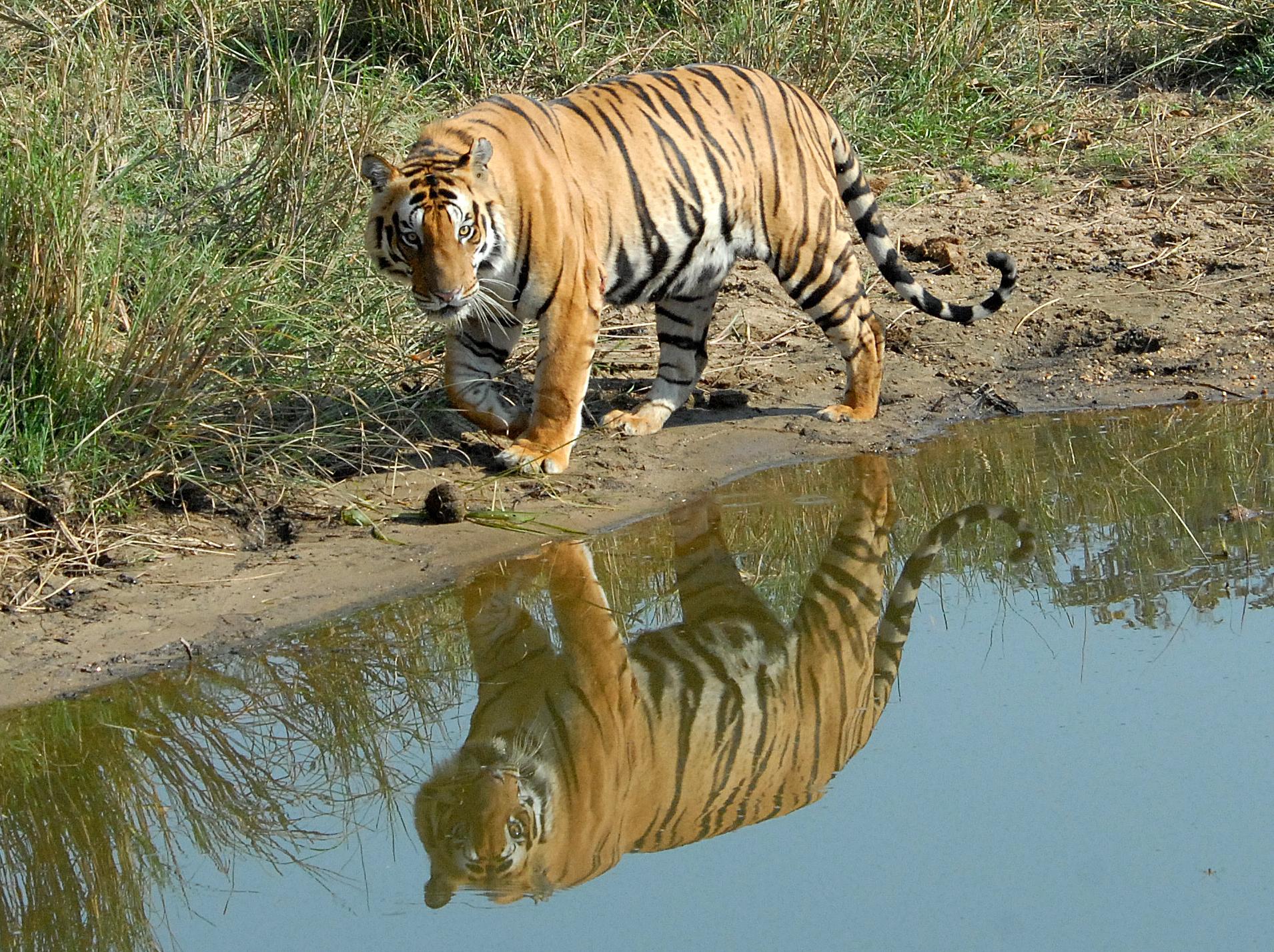 024 tiger.jpg