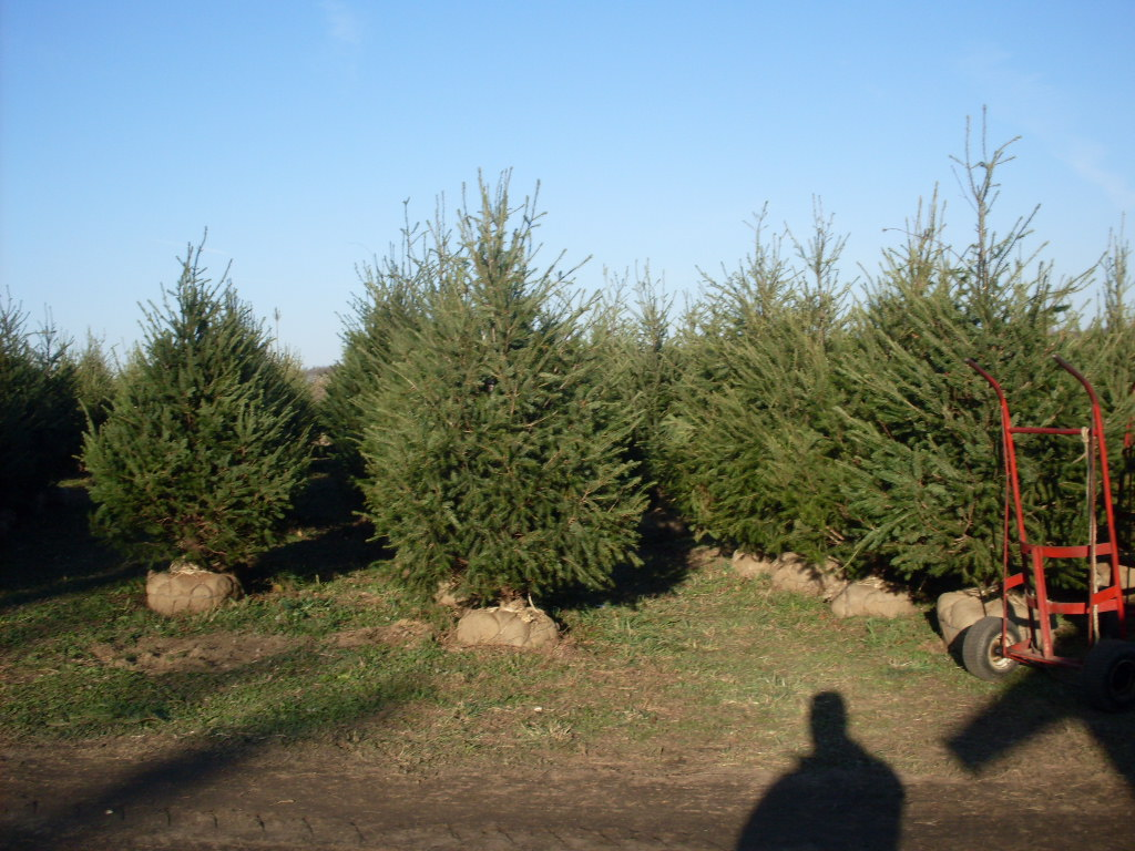 How Long Does It Take To Grow A Christmas Tree.Christmas Trees Lewin Farms Homepage