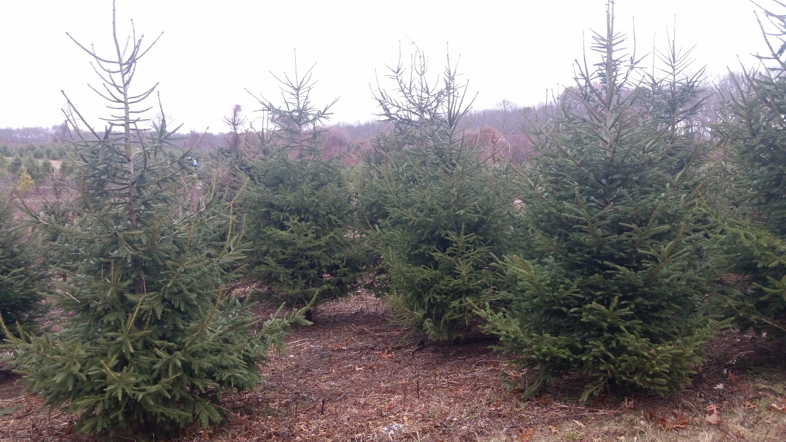 Cut Your Own Christmas Tree Long Island.Christmas Trees Lewin Farms Homepage