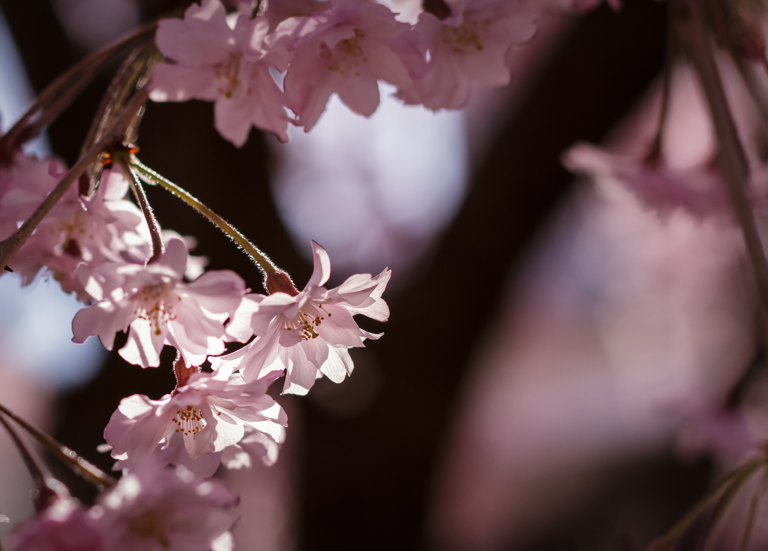 Afternoon light filtering through cherry blossoms