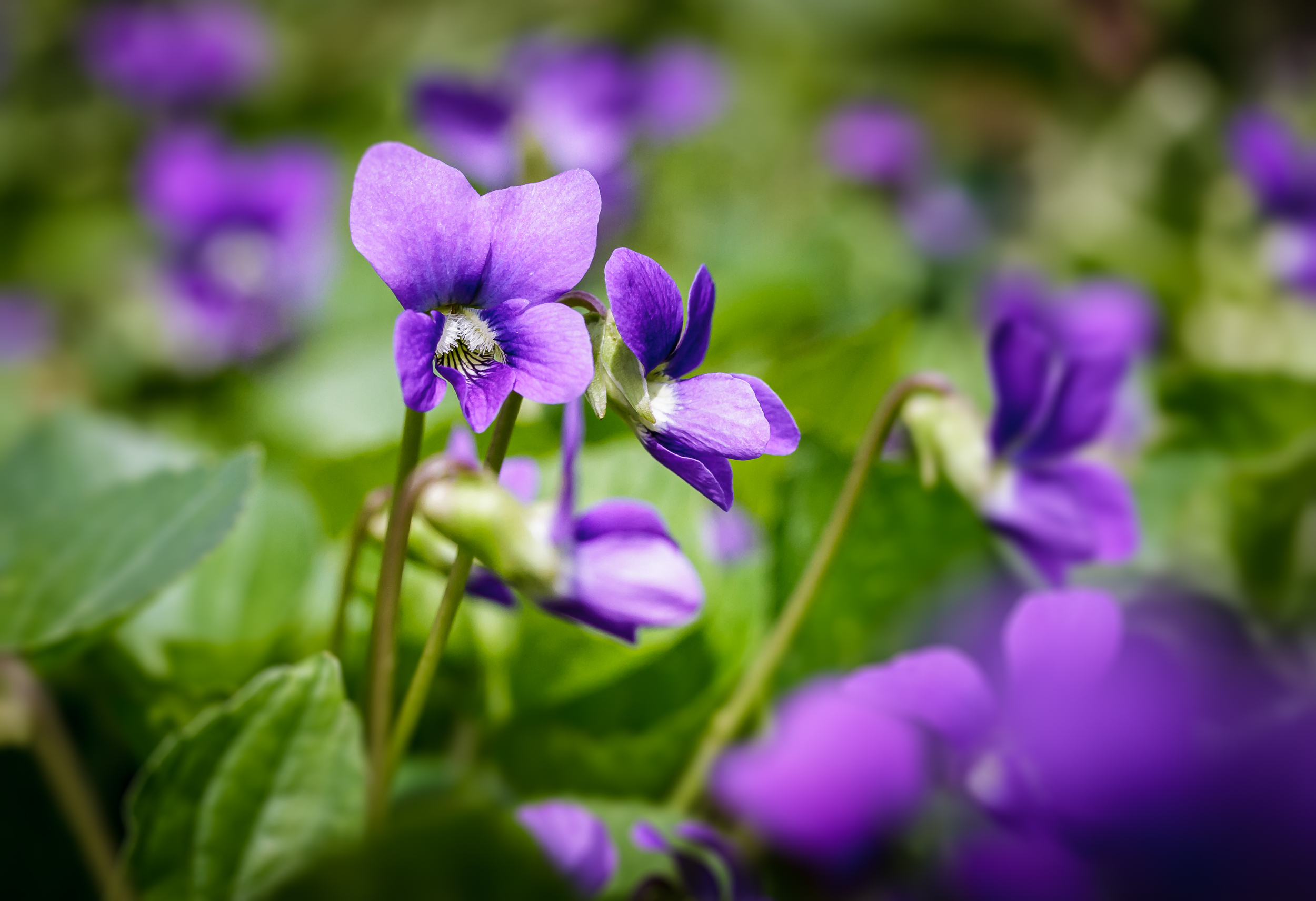 Violets in all their glory