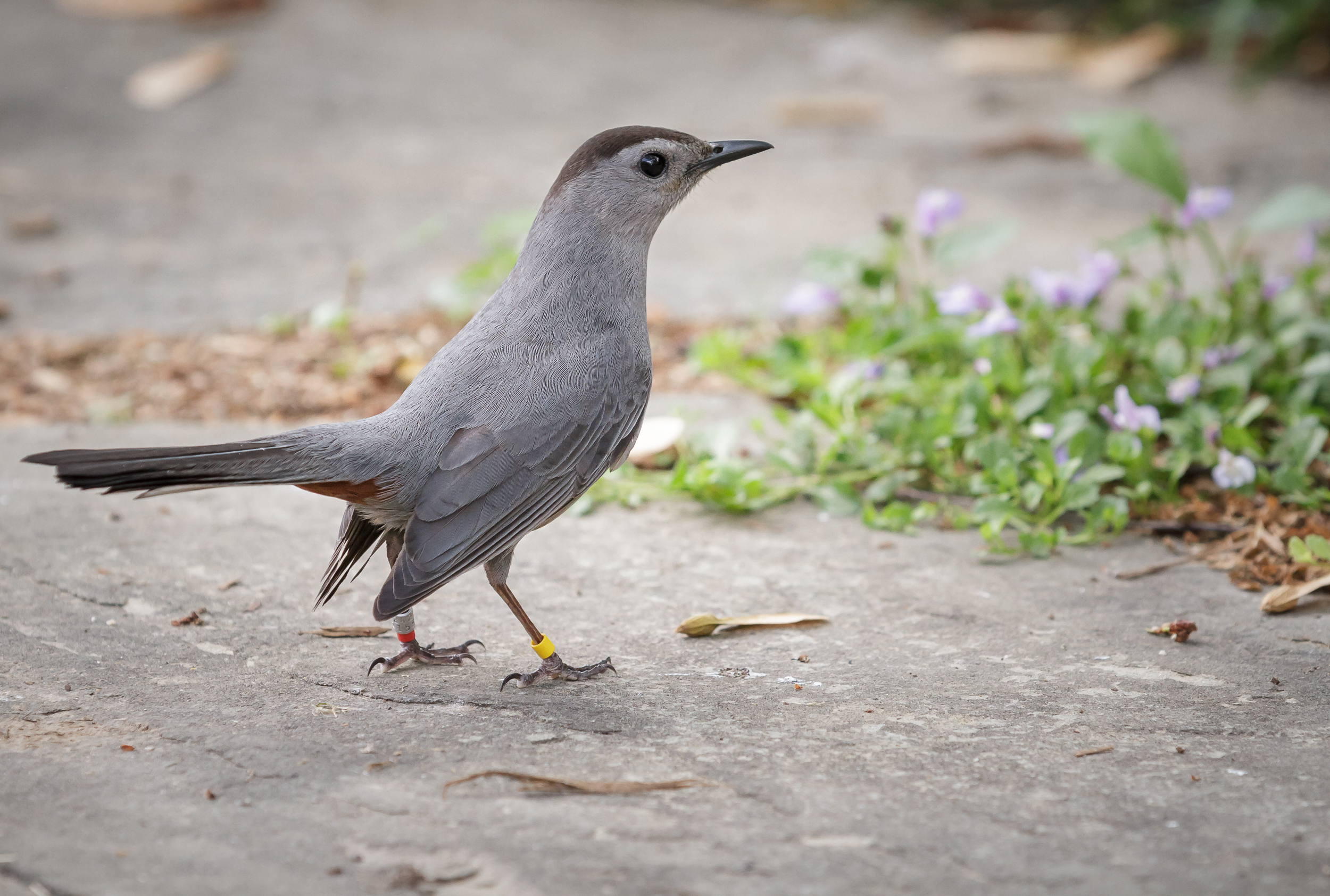 A gray catbird with USGS bands