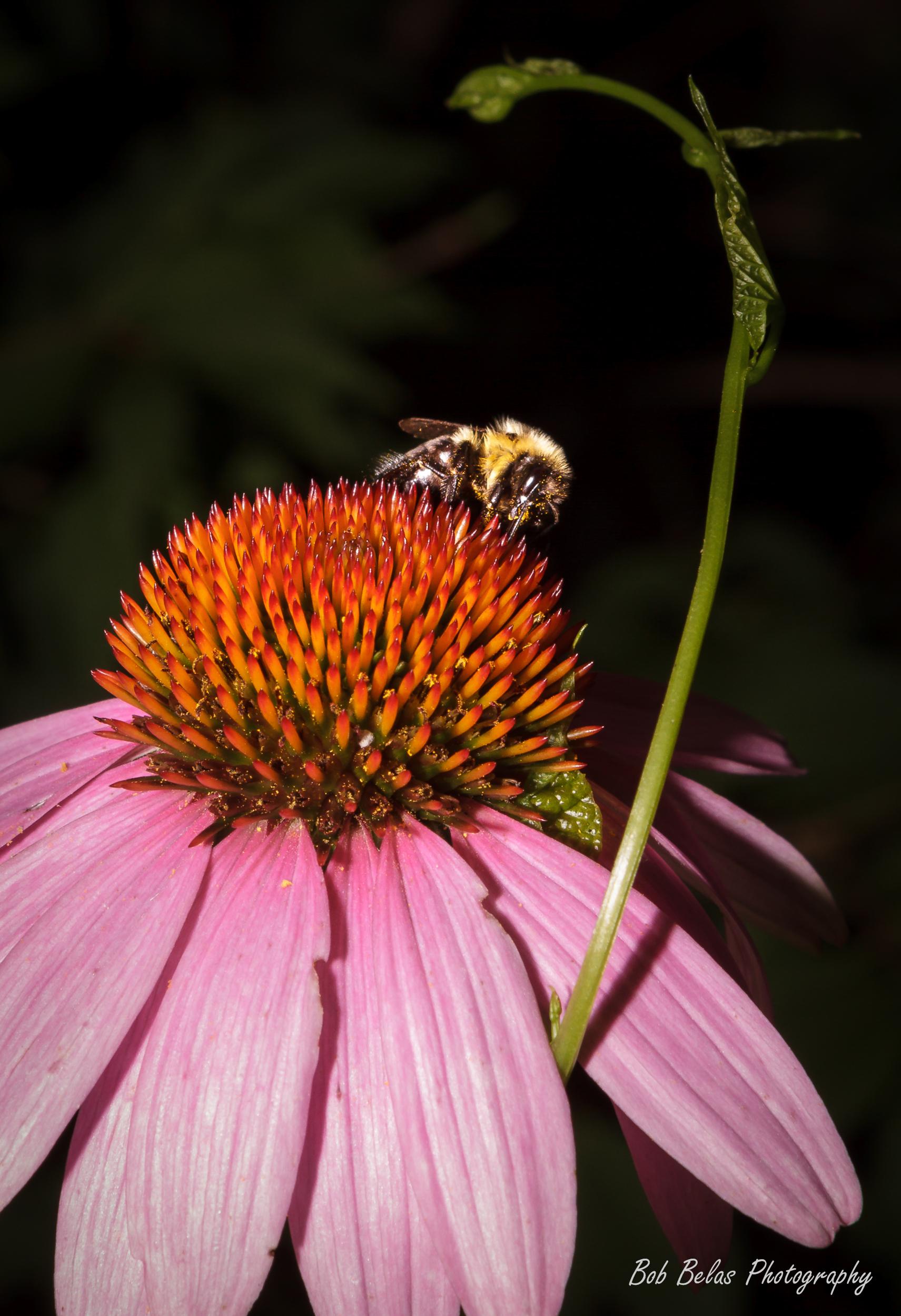 Coneflower and bumblebee