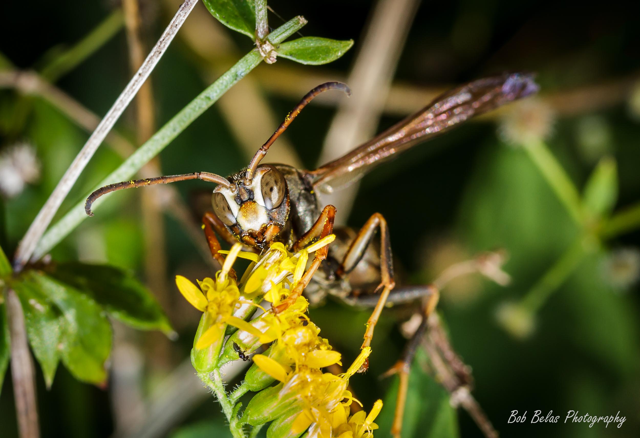 Hornet on golden rod
