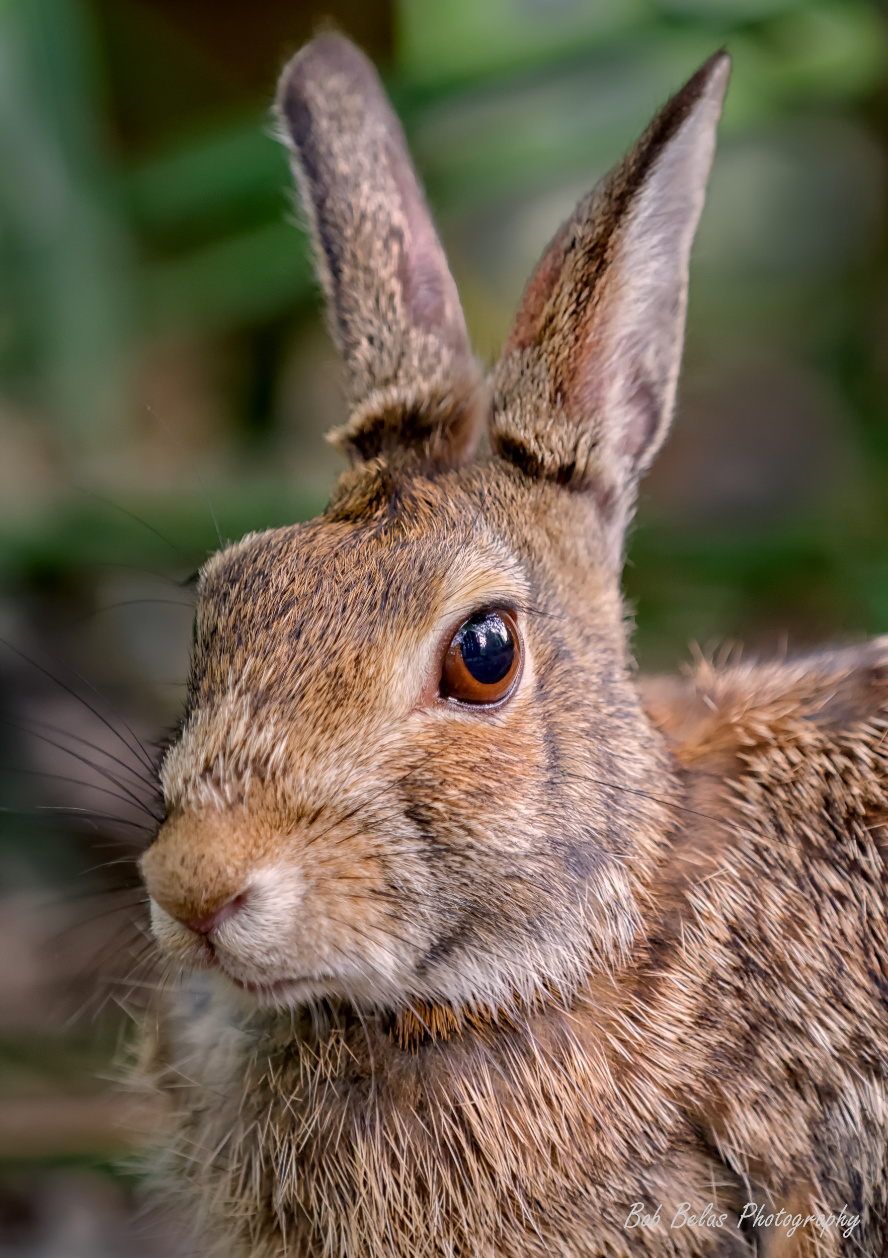 Cottontail 2.jpg