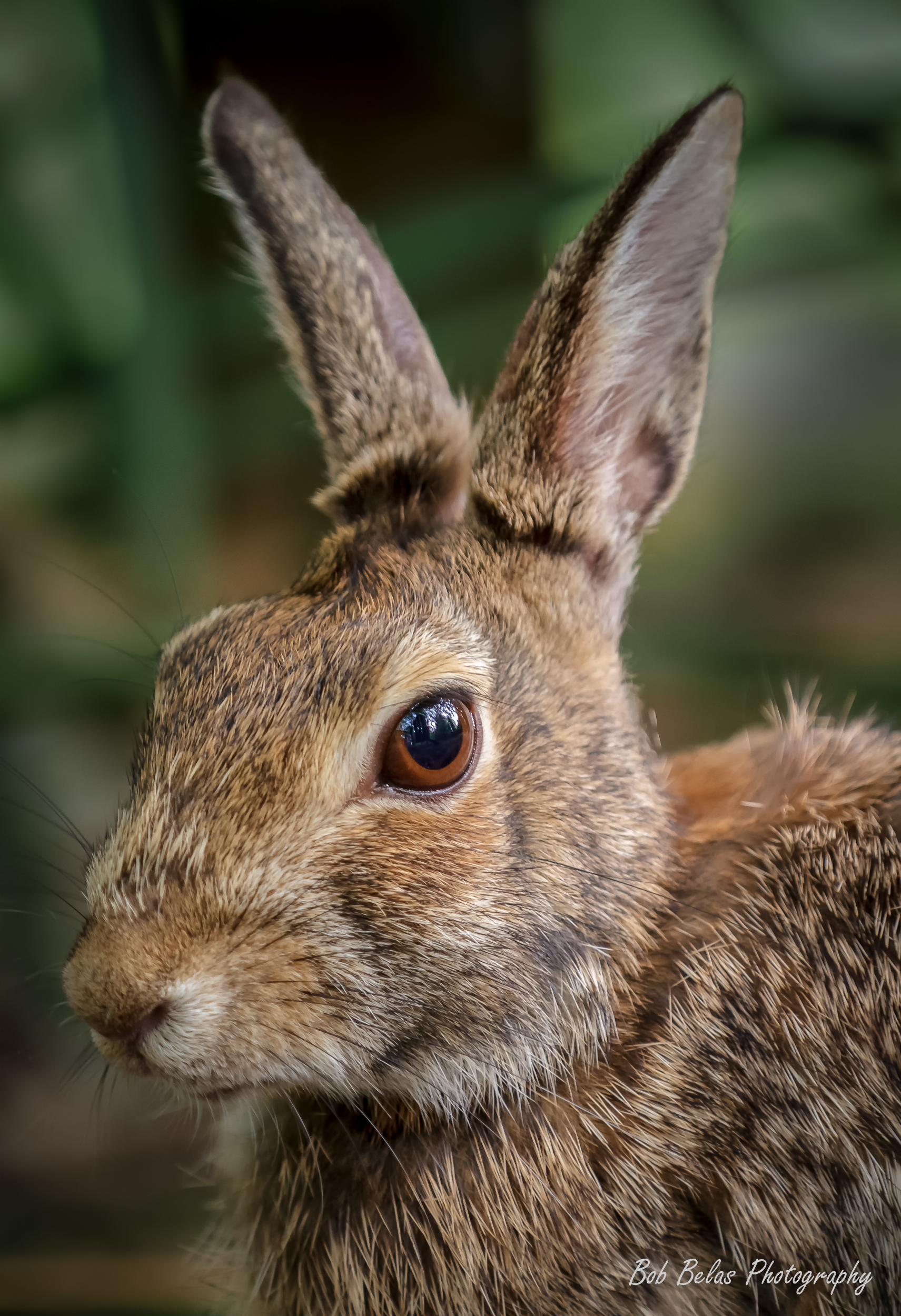 Cottontail 1.jpg
