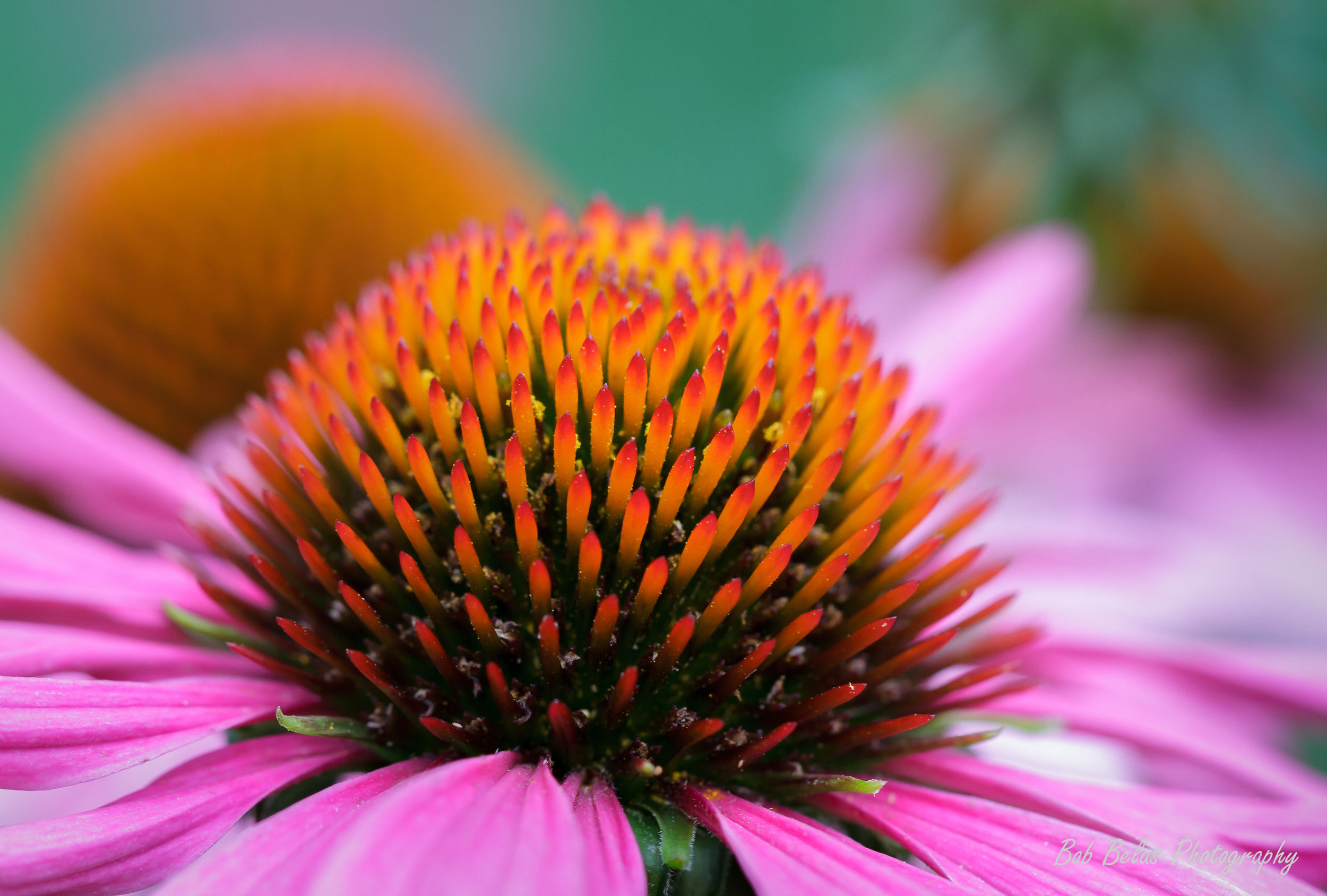 Pink Coneflower Fireworks