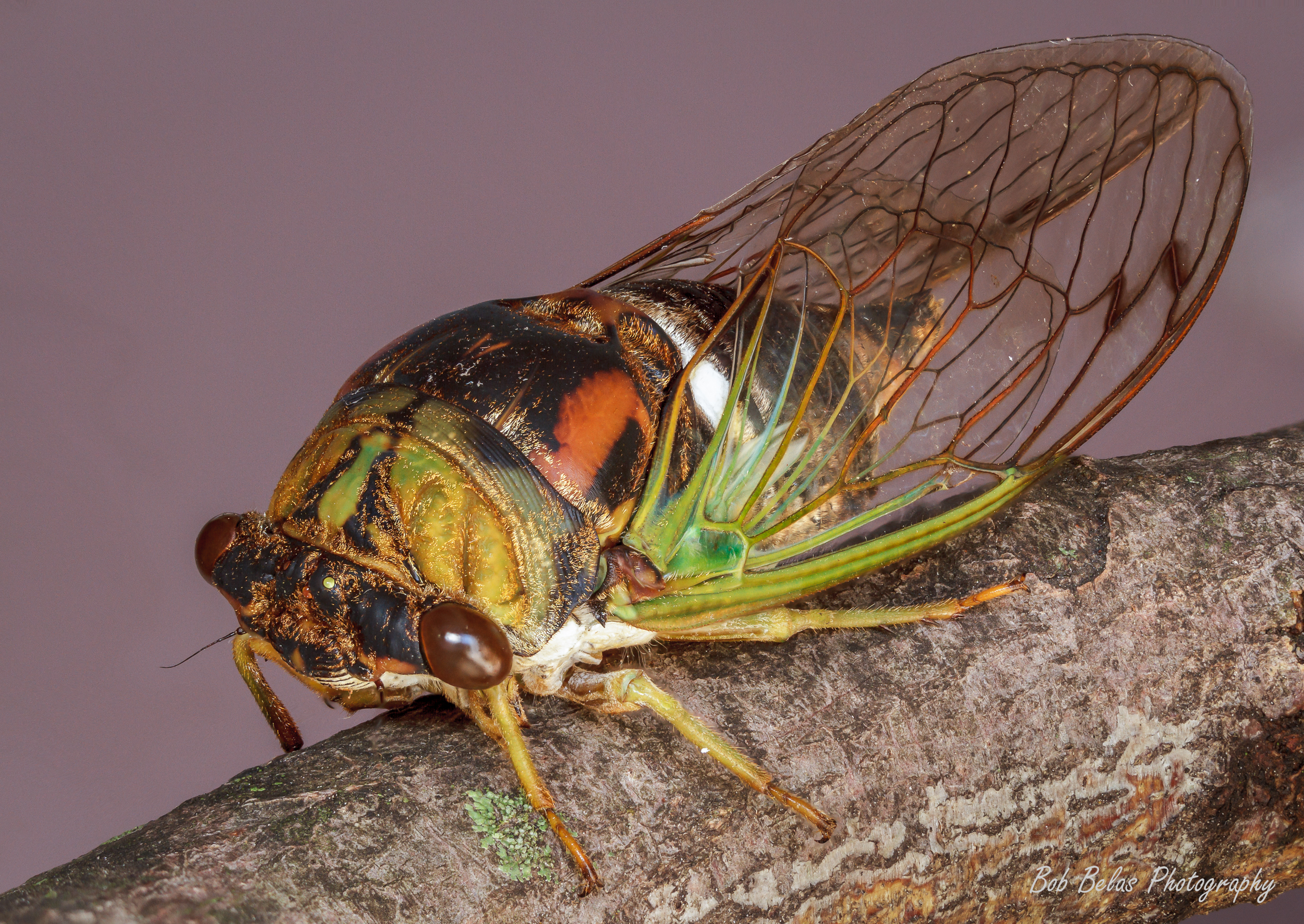 Cicada Brood V 1