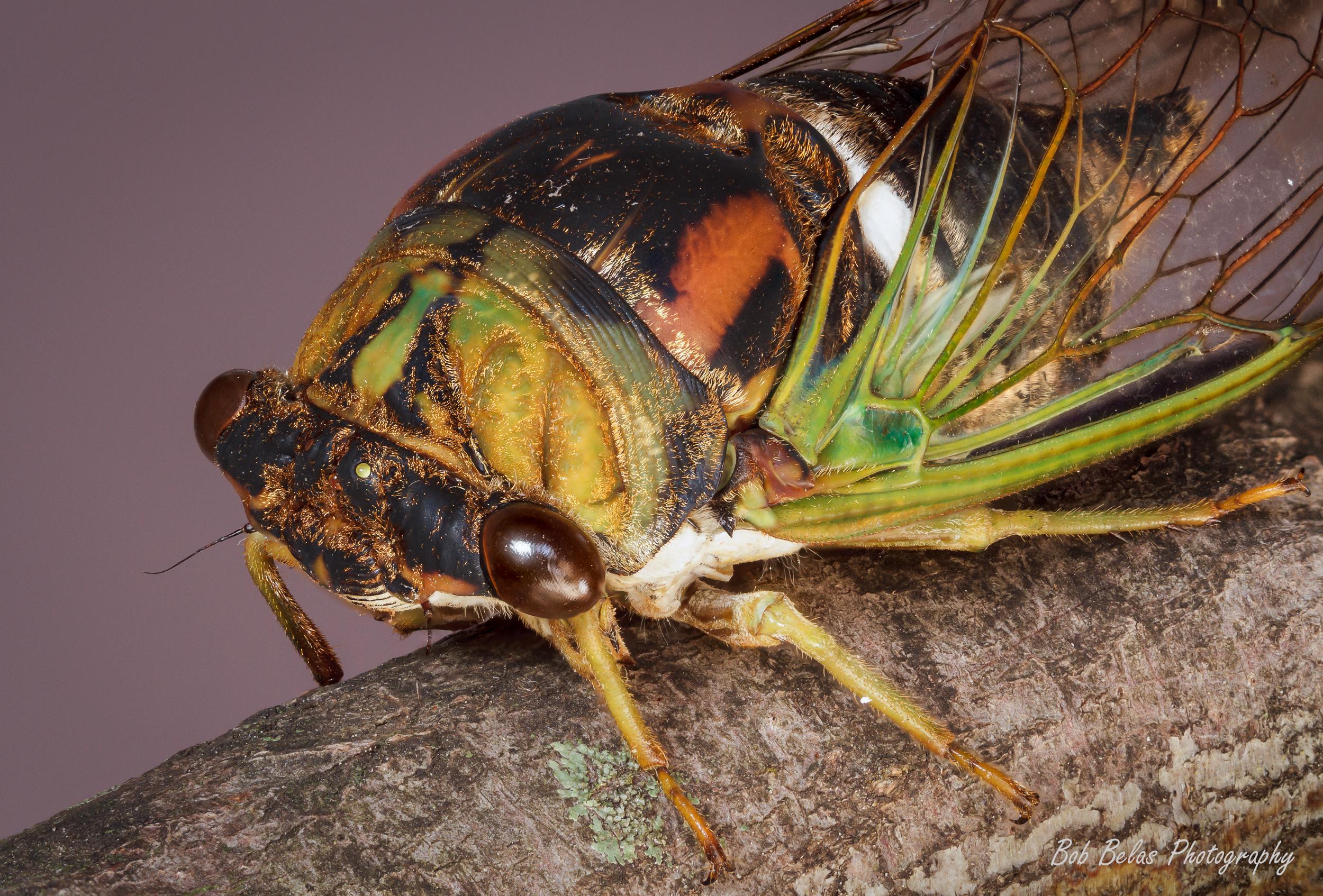 Cicada Brood V 2
