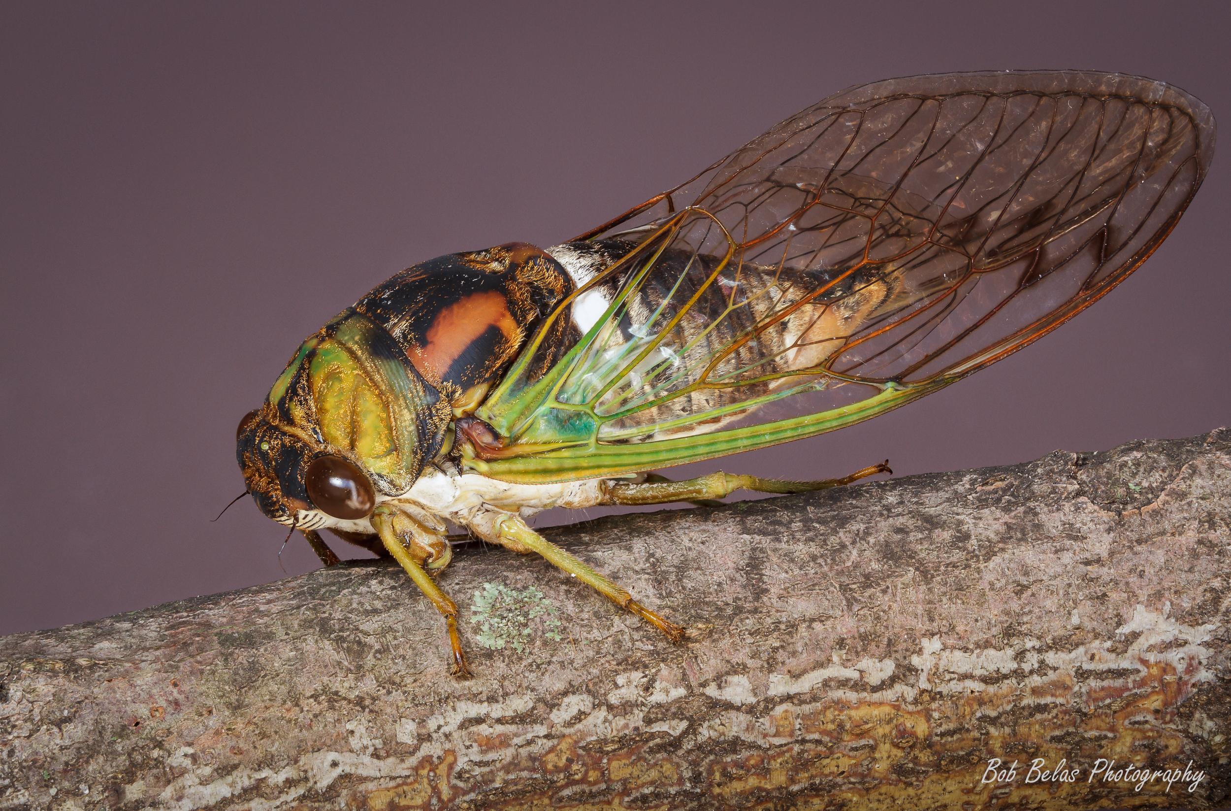 Cicada Brood V 4