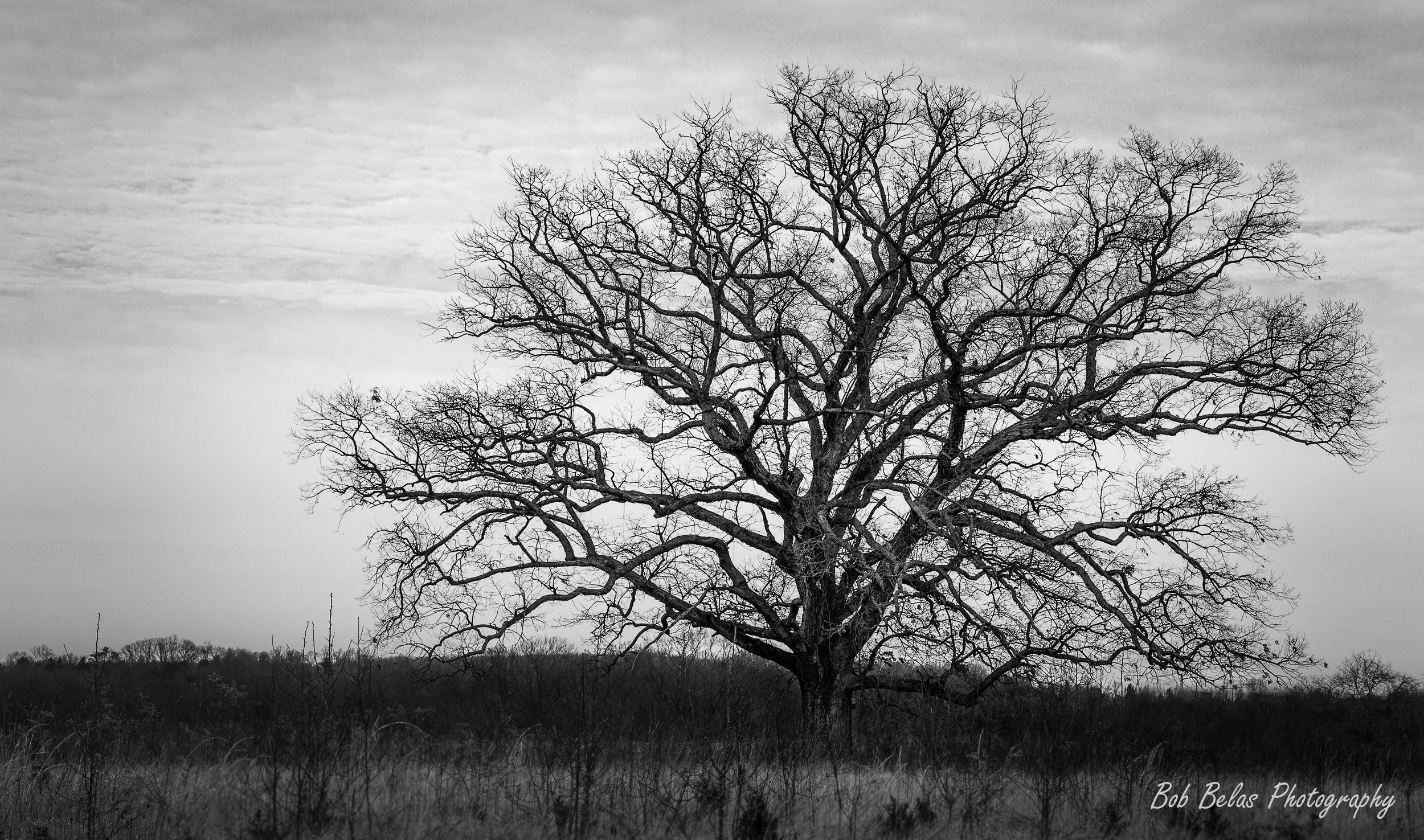 Abandoned Tree, b/w