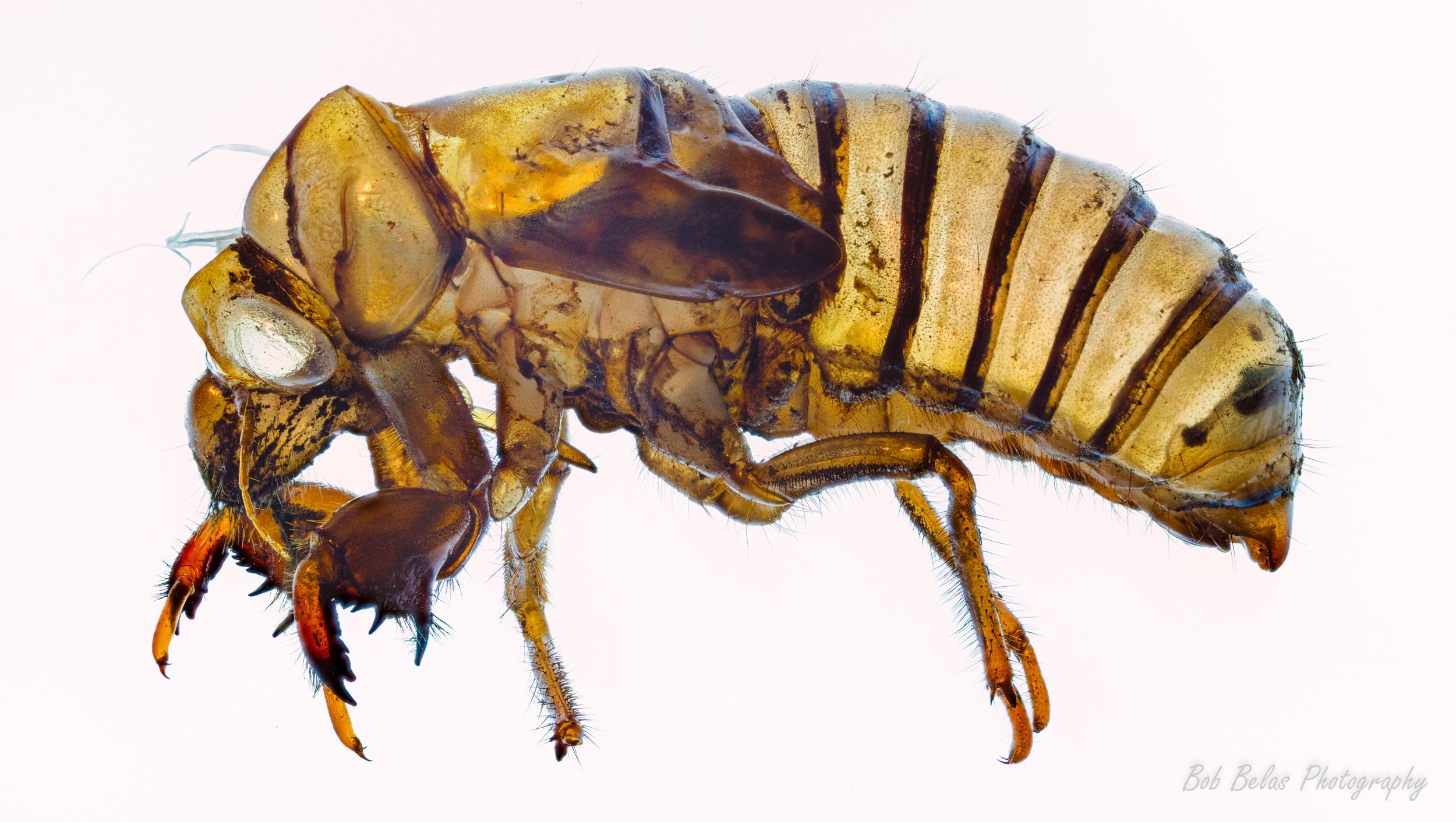 Cicada exuviae macro, color