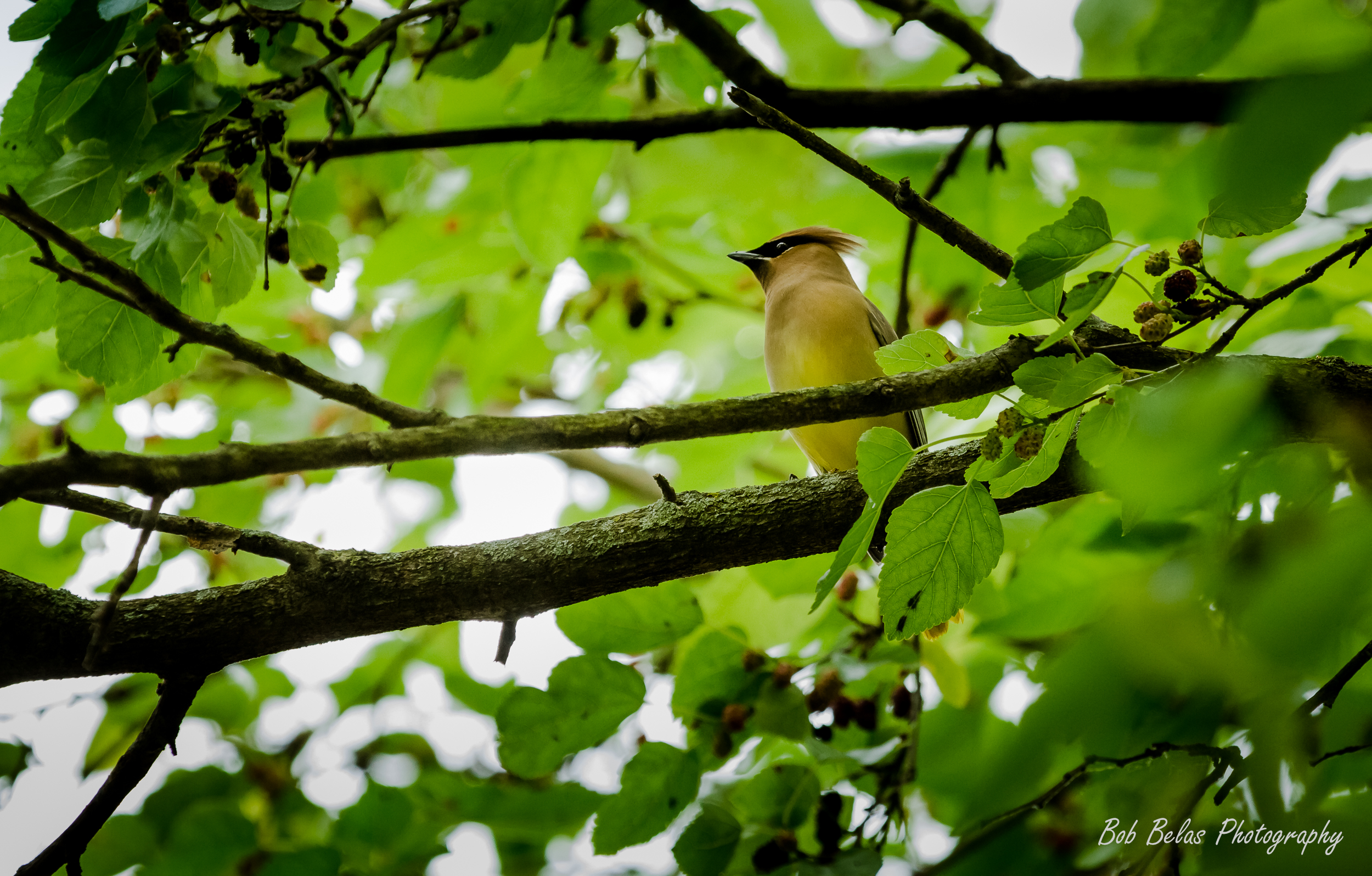 Cedar Waxwing in Mulberry Tree, color