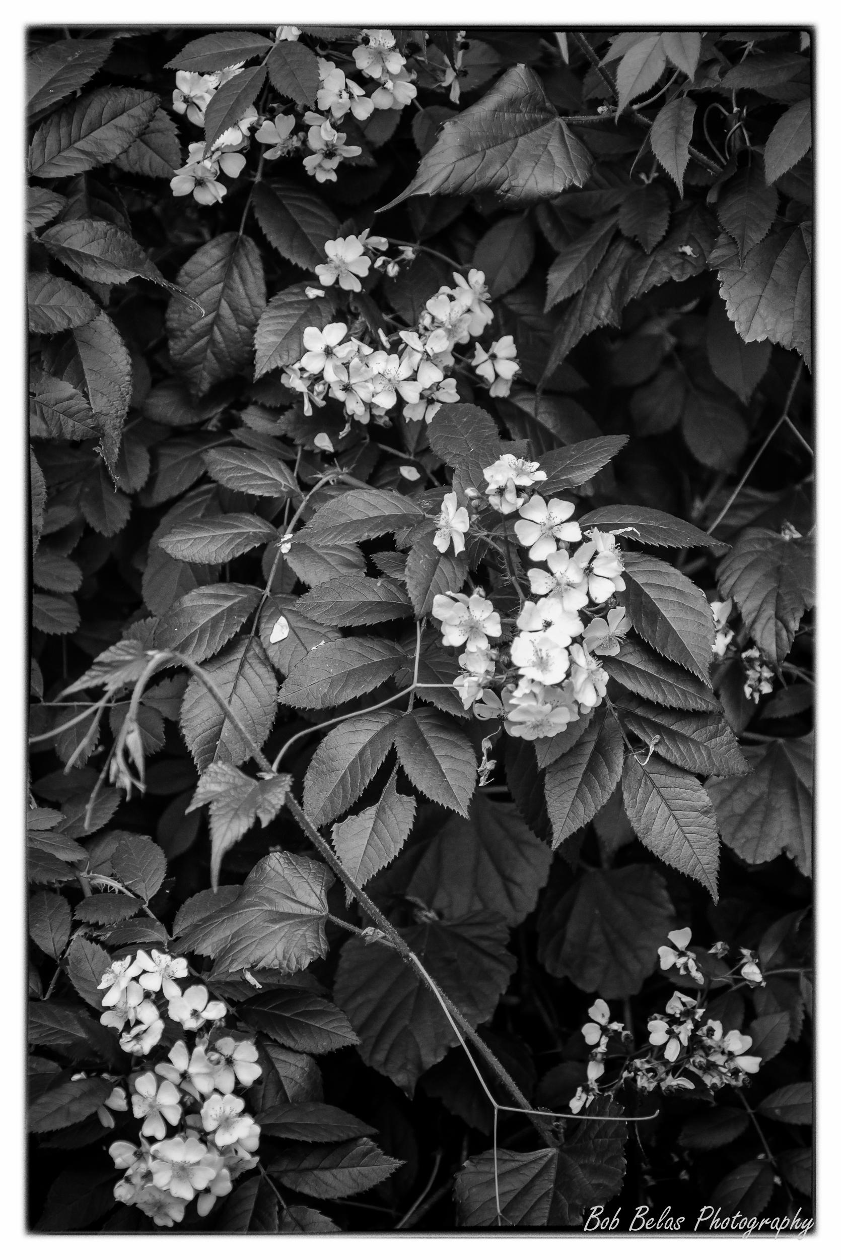 Wild Rose, monochrome