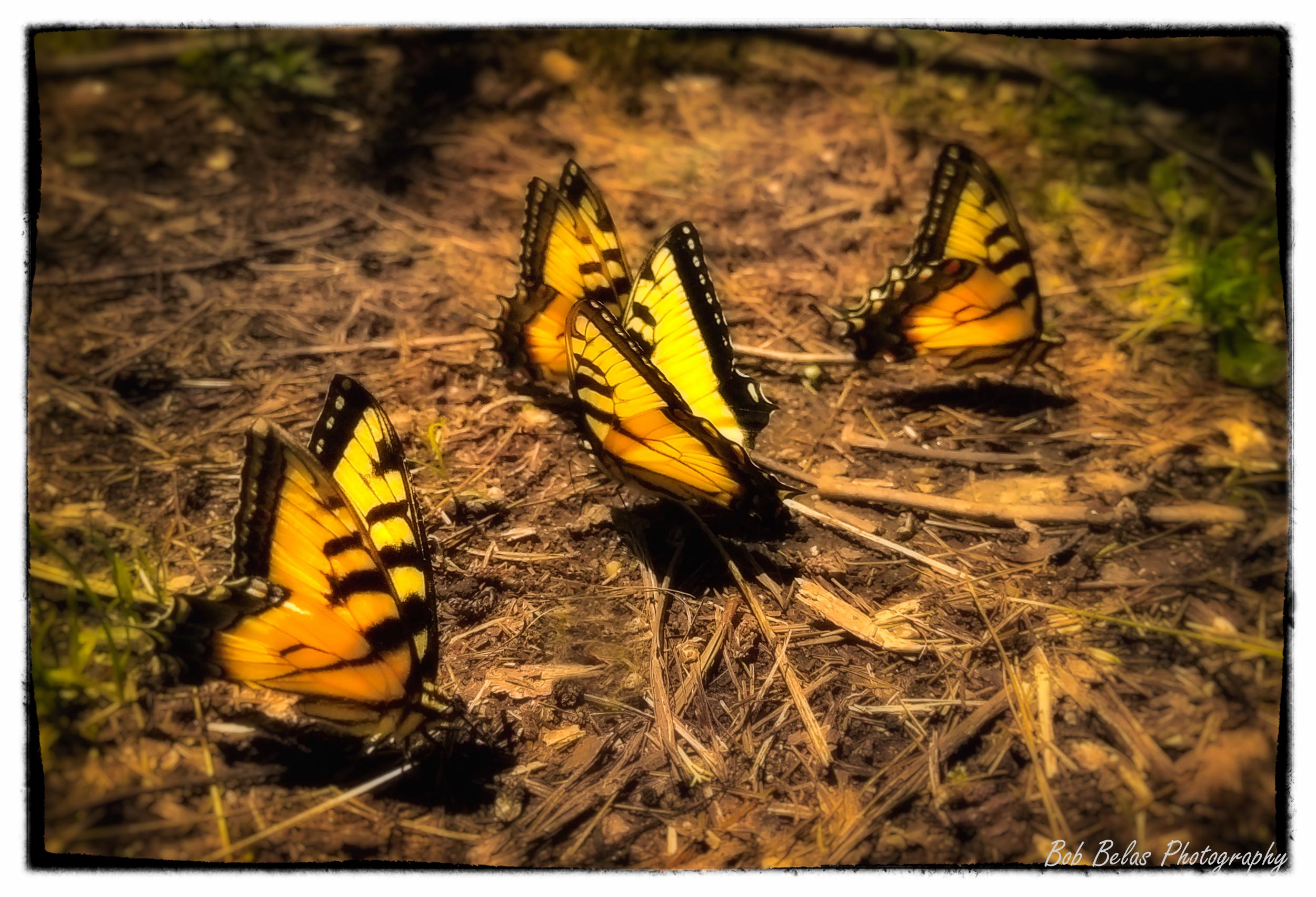 Illuminated butterflies, color