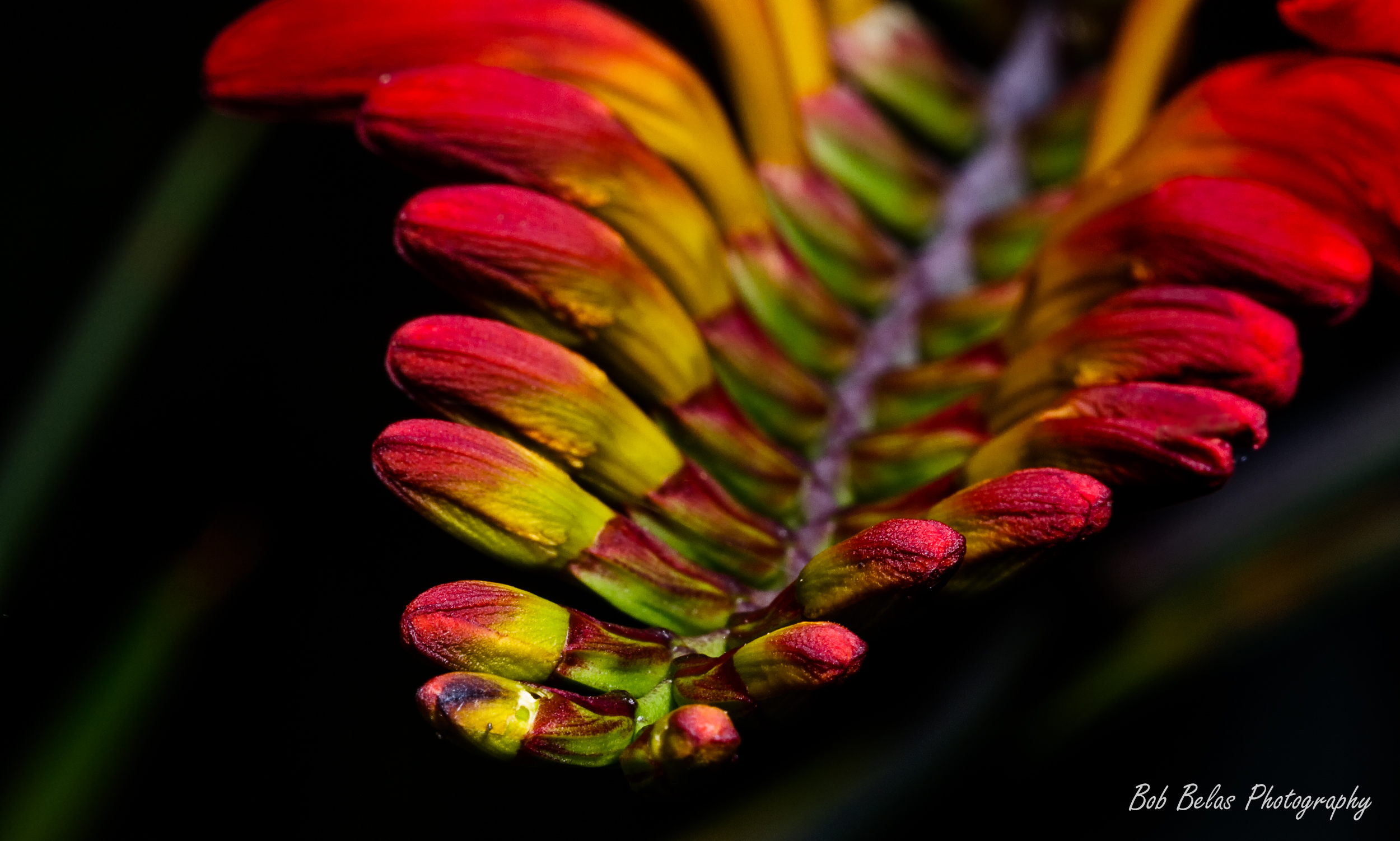 Crocosmia buds 2, color