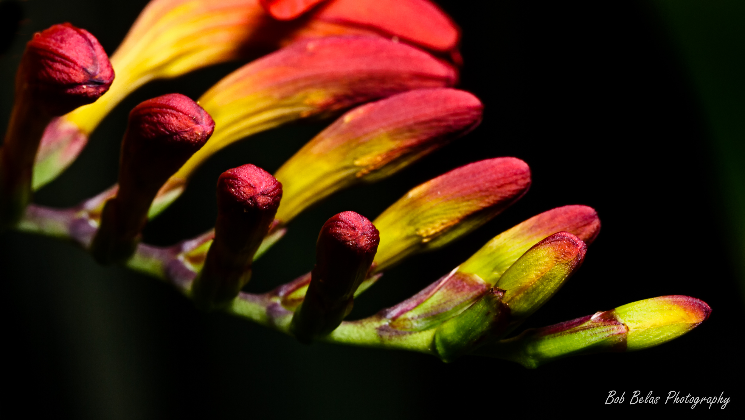 Crocosmia buds 3, color