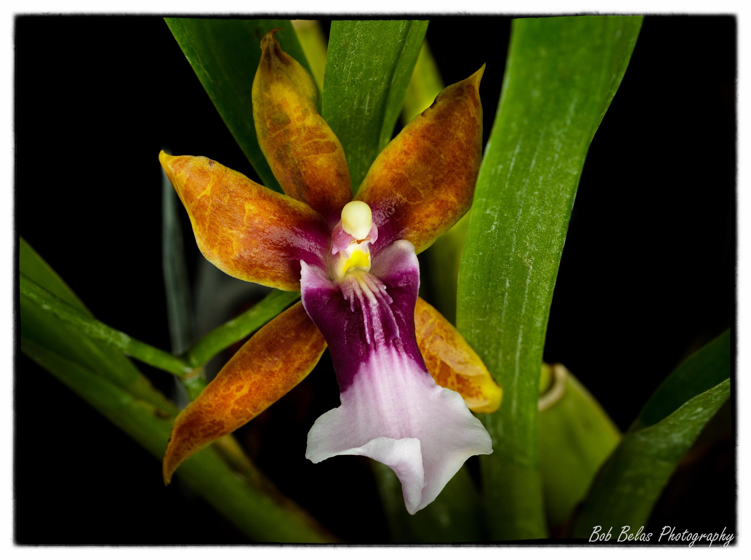 Miltonia clowesii, color