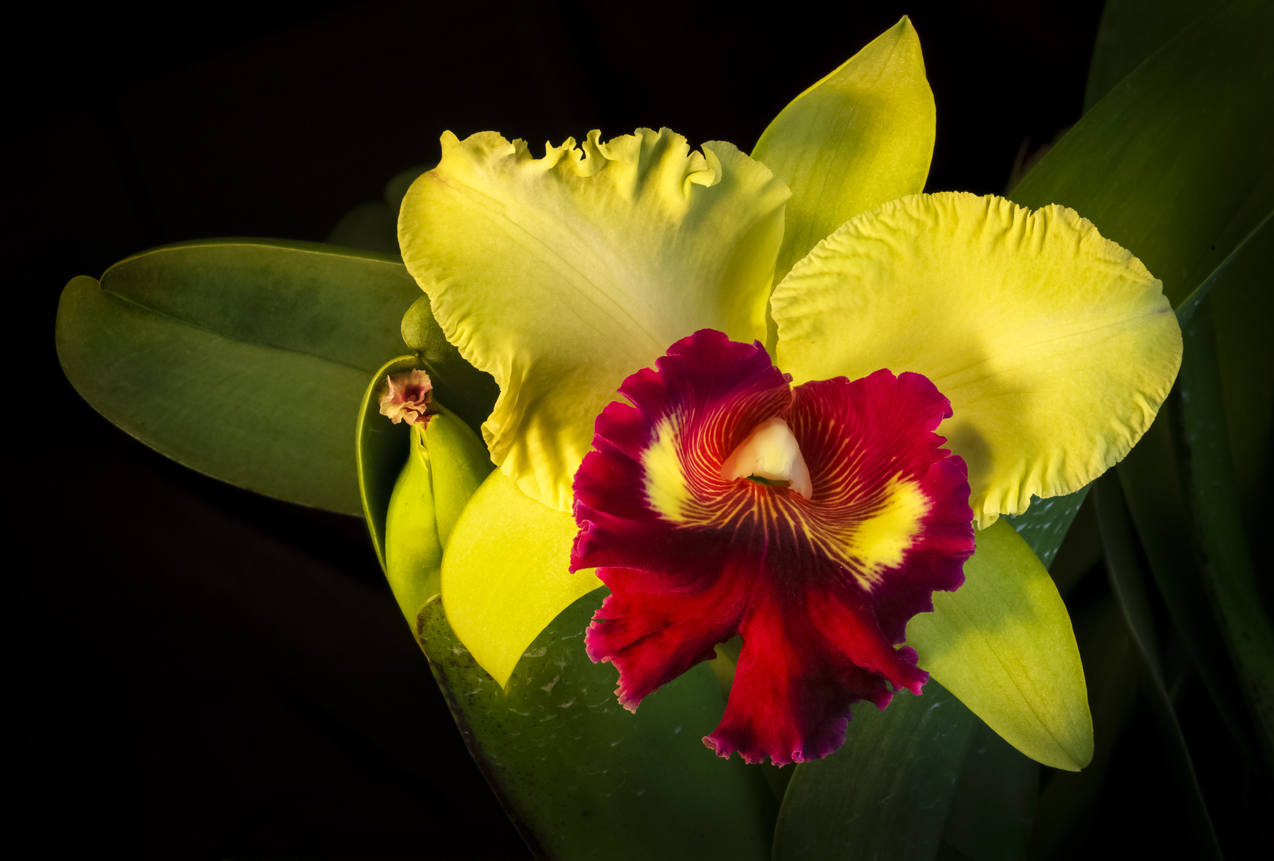 Blc Willette Wong