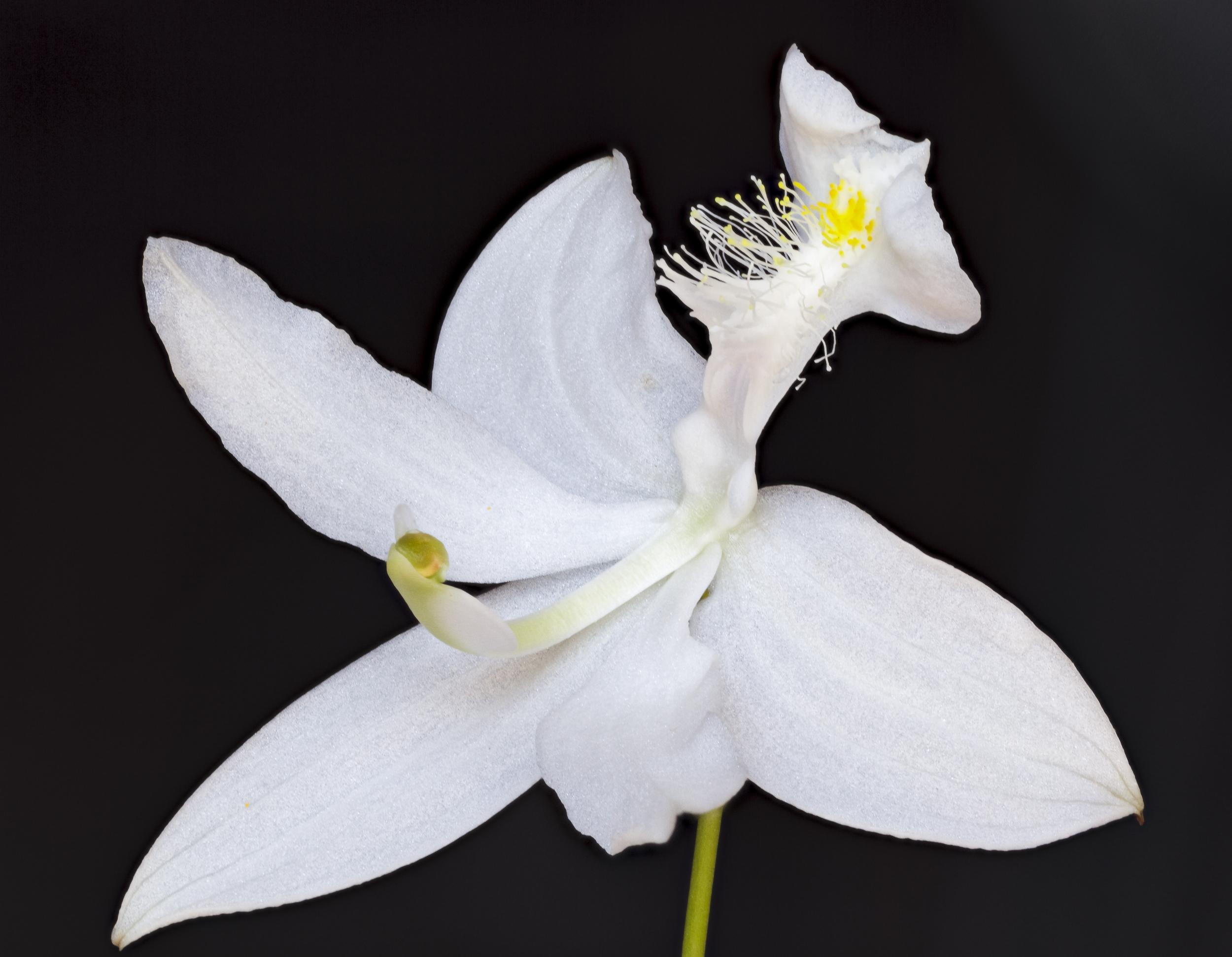 Bog Orchid #1