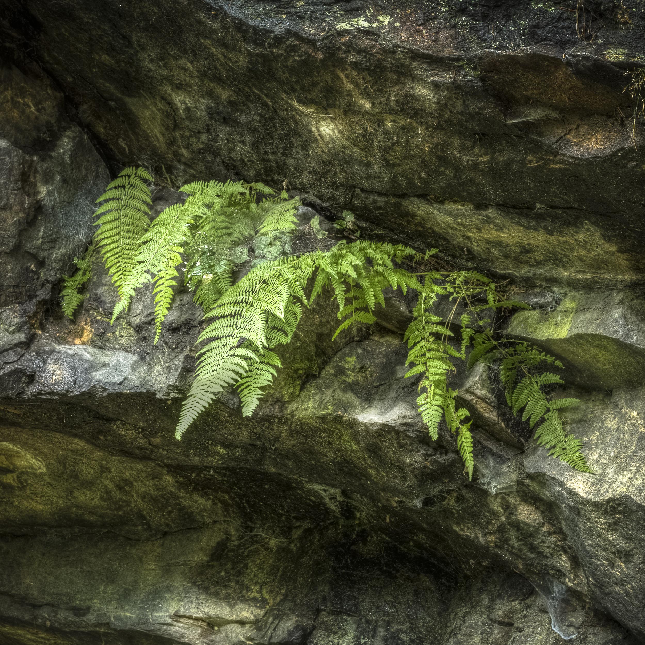 Gneiss Ferns