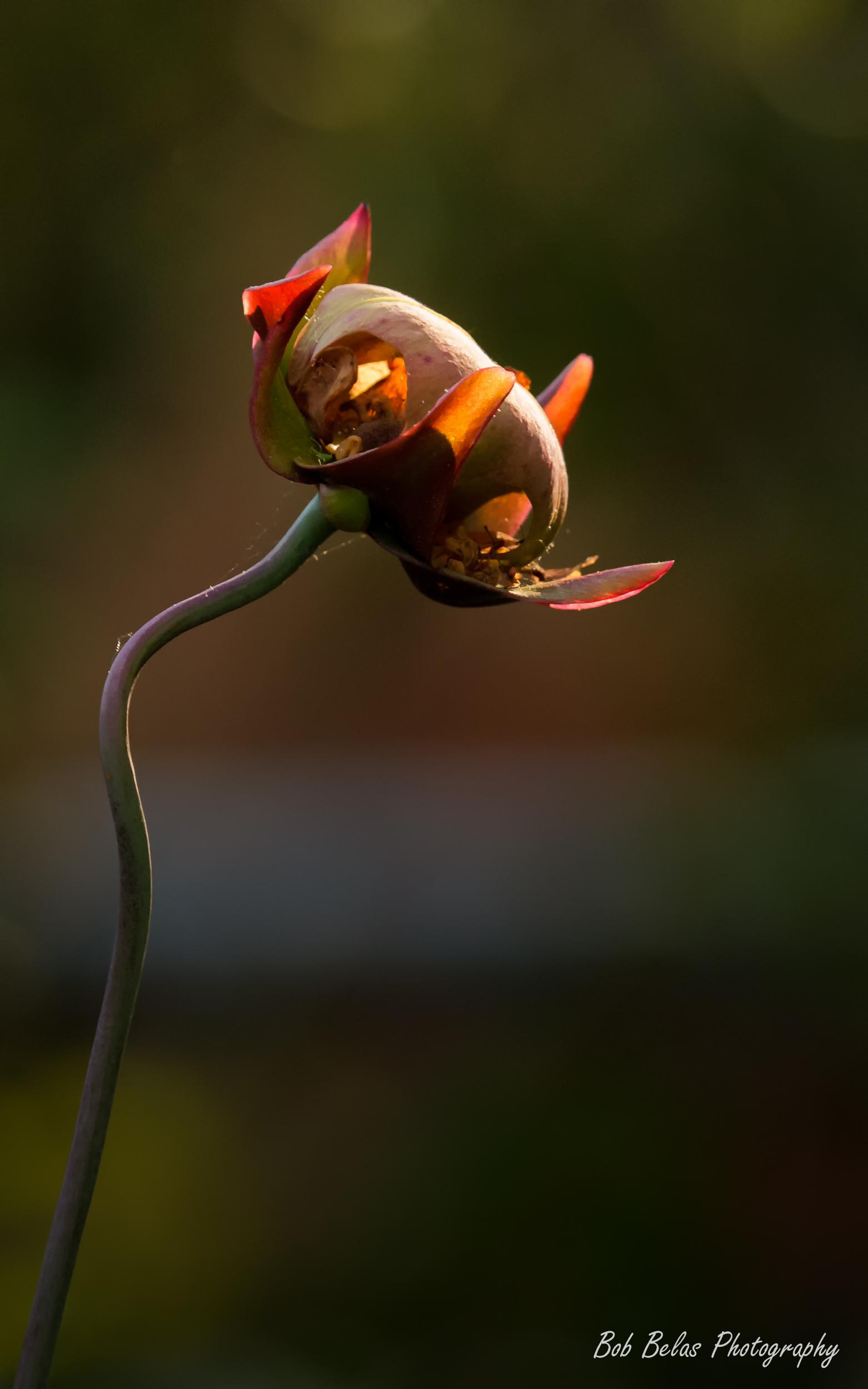Pitcherplant Flower