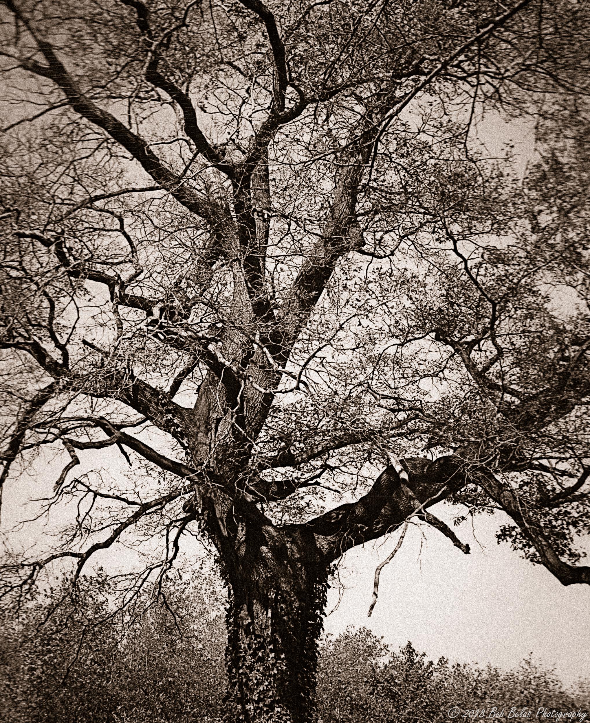 Oak, monochrome