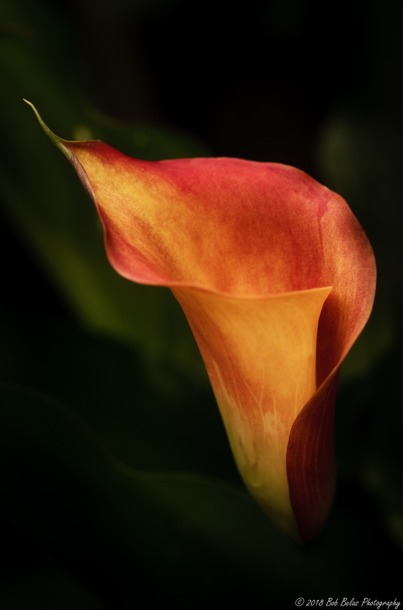 Warm Calla, color