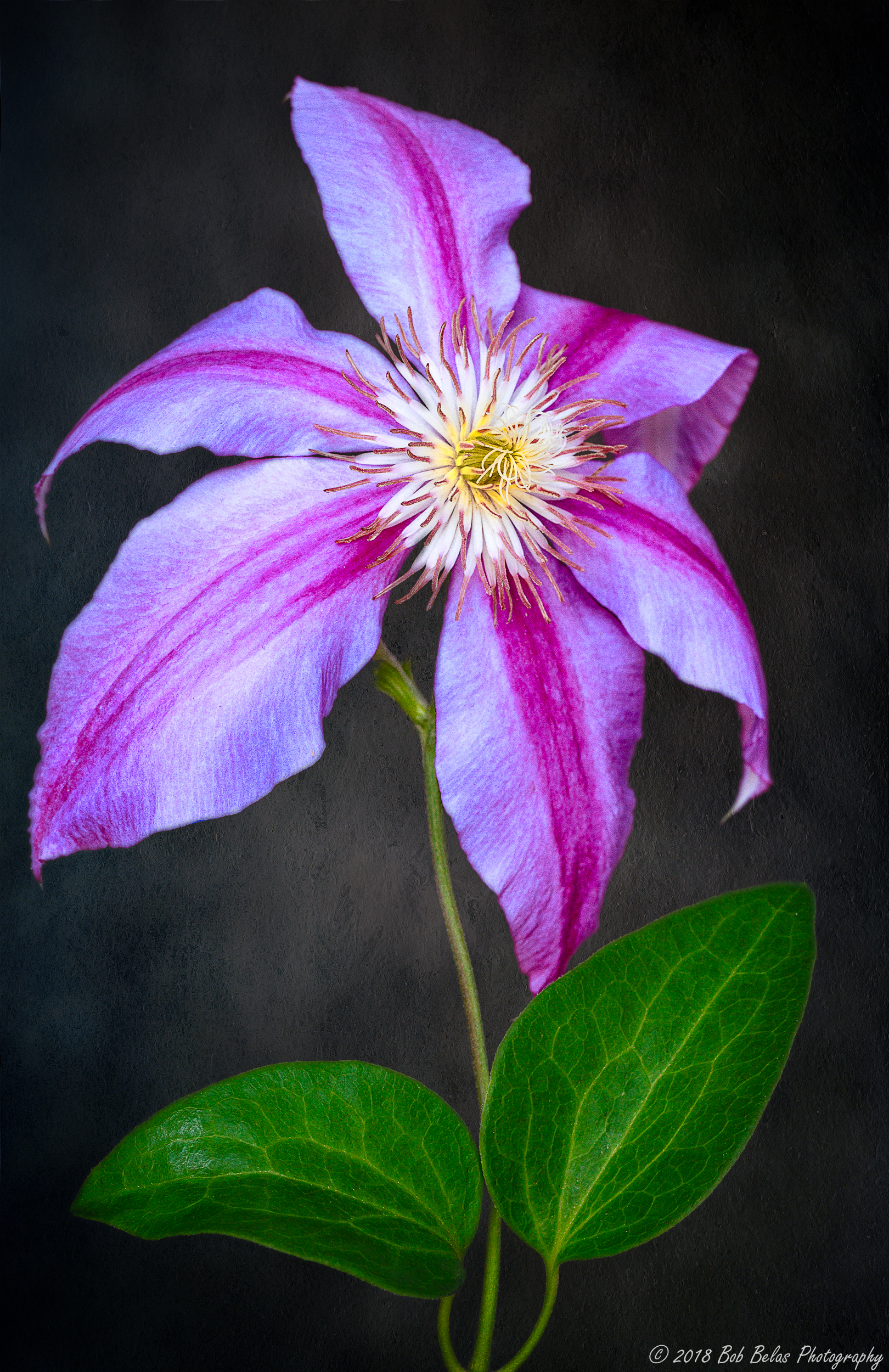 Clematis Portrait #3 with background, color