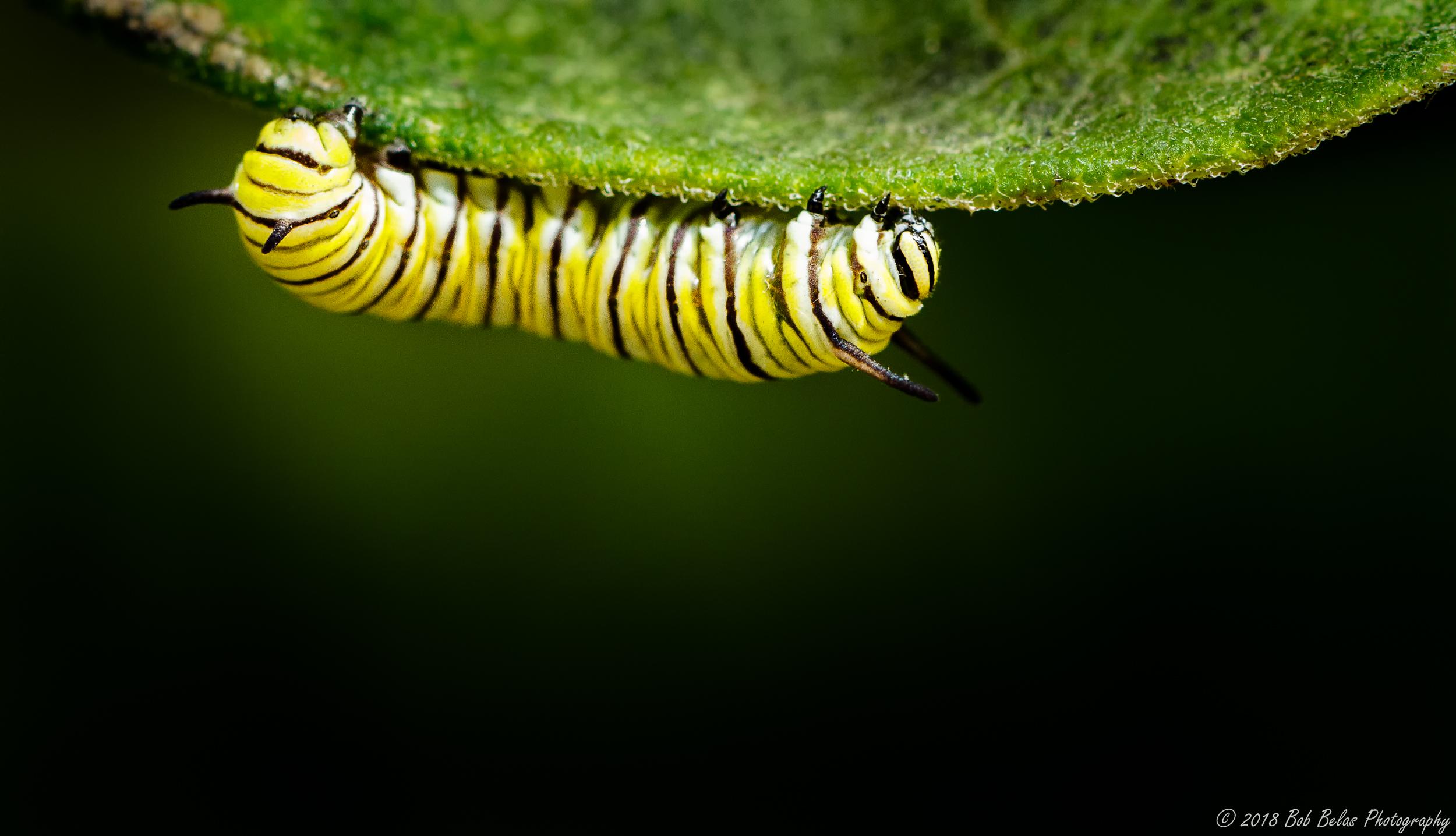 Monarch Caterpillar 1, color
