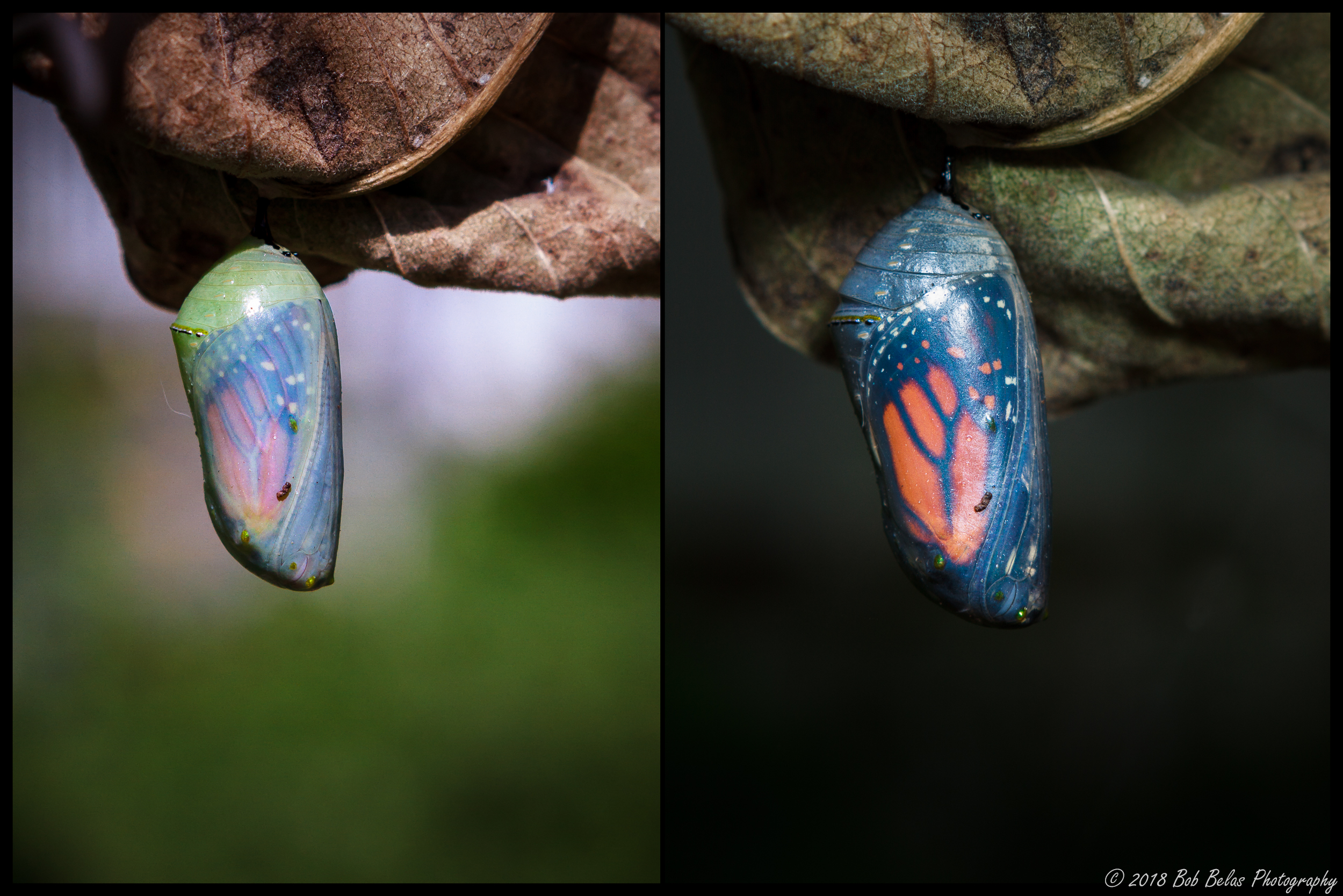 Chrysalis Duo, color