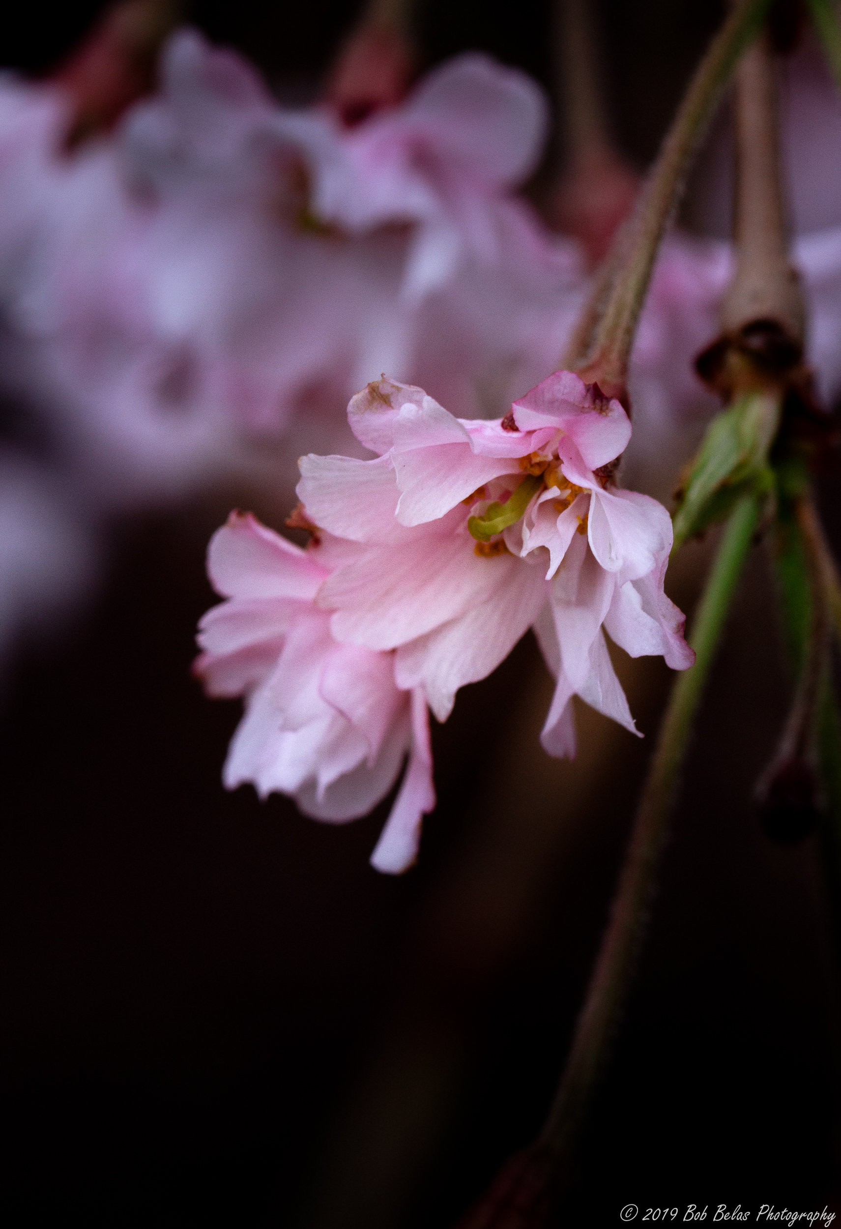 Weeping Cherry Blossom 3, color