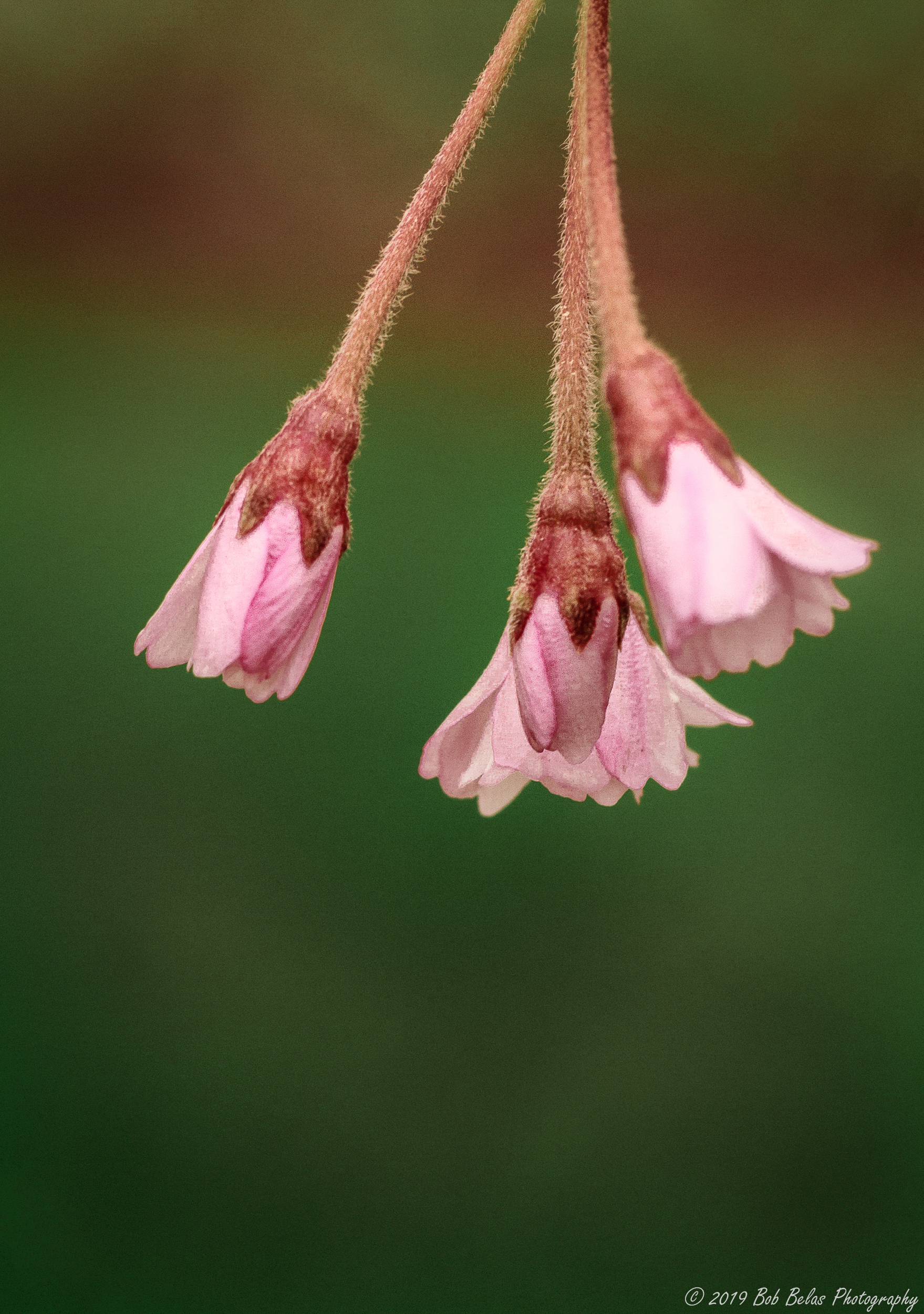 Weeping Cherry Blossom 1, color